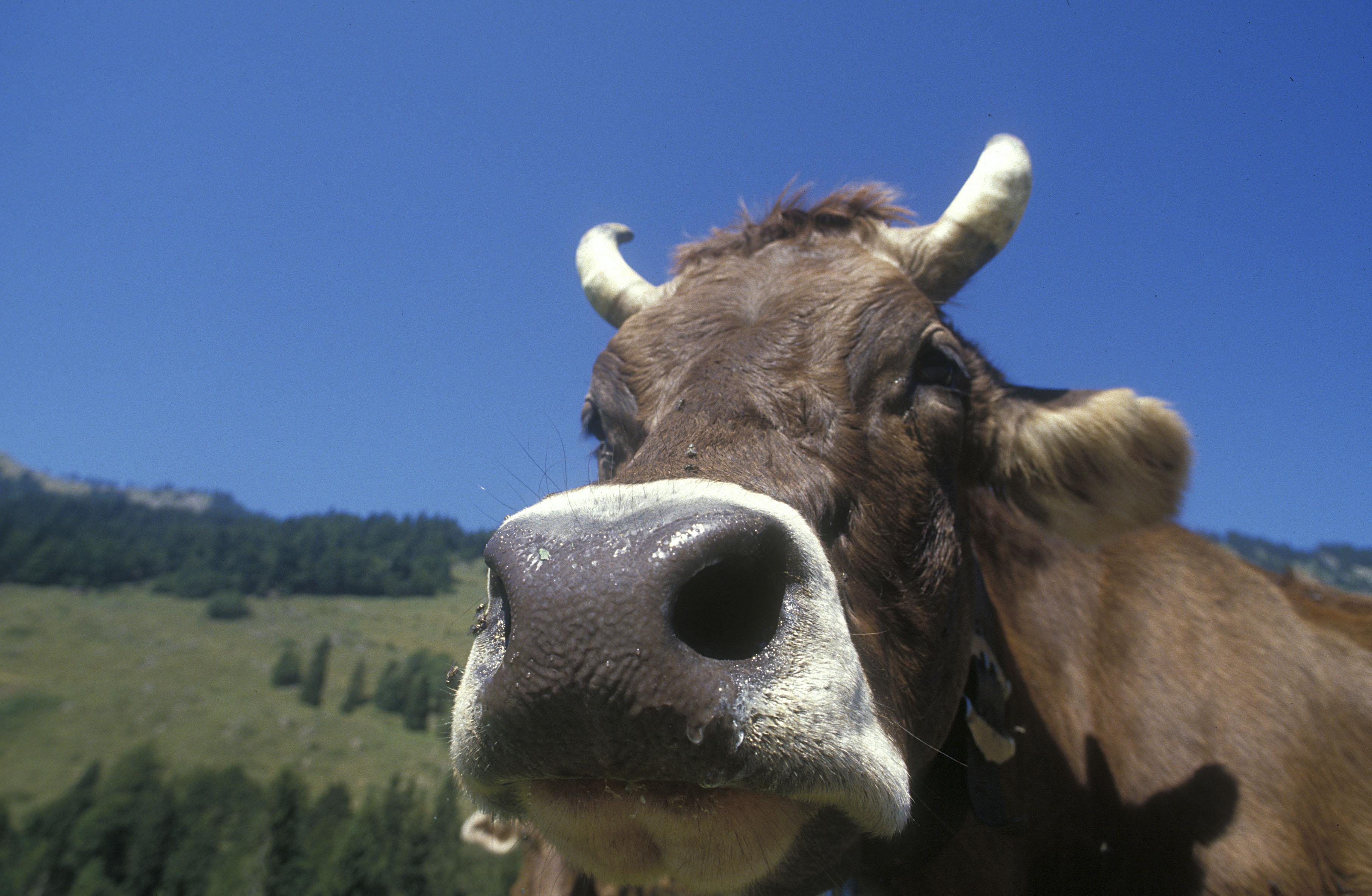 Halára taposott egy tehéncsorda egy 82 éves férfit Yorkshire-ben