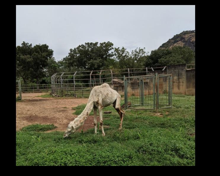 Tunde elvitte a kislányát a nigériai állatkertbe, ahol szembejött velük egy teve, ami annyira sovány volt, hogy már nem is nézett ki tevének
