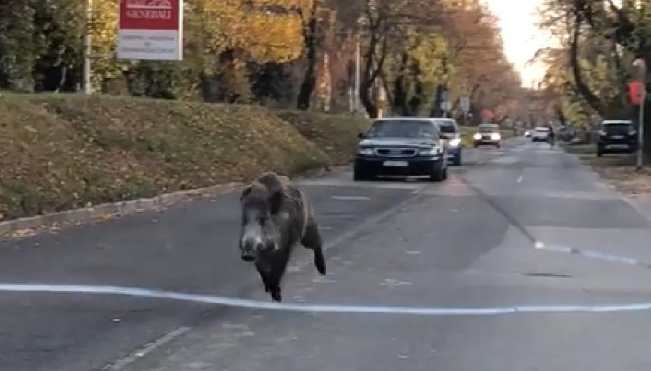 A forgalommal szemben futott egy vaddisznó a Római-parton