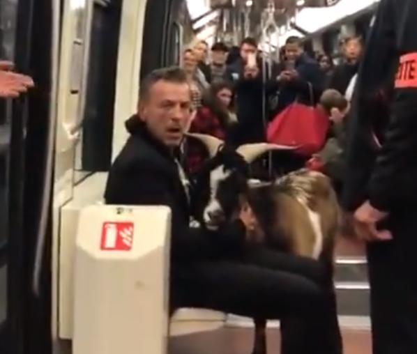 Kecskét lopott, a metrón próbált meglépni az állattal