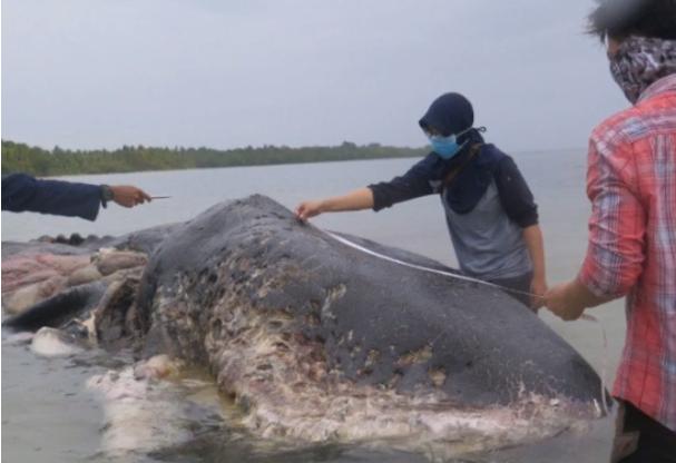 1000 darab műanyag hulladékot találtak egy partra sodort bálnában Celebesznél