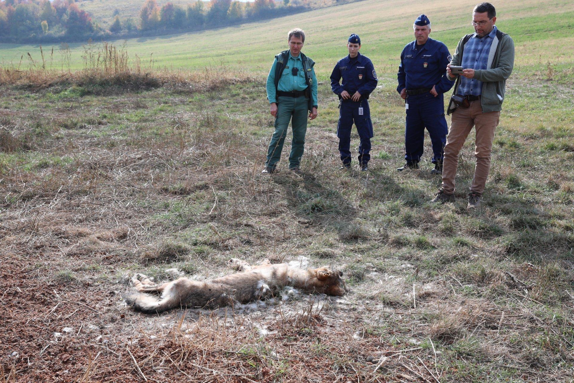 Valaki lelőtt egy farkast a Bükkben