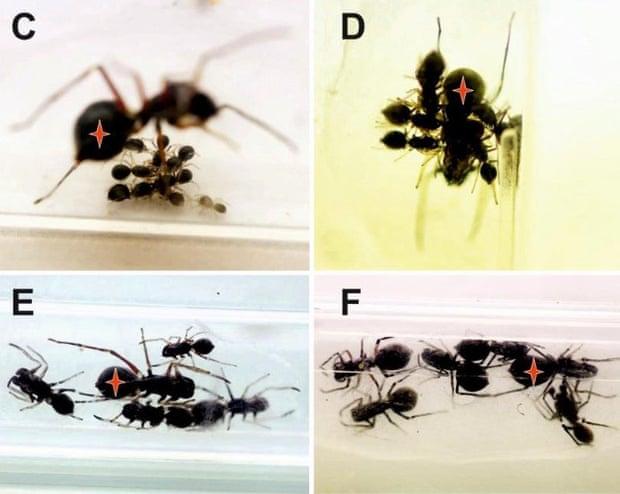 Szoptató pókfajt fedeztek fel