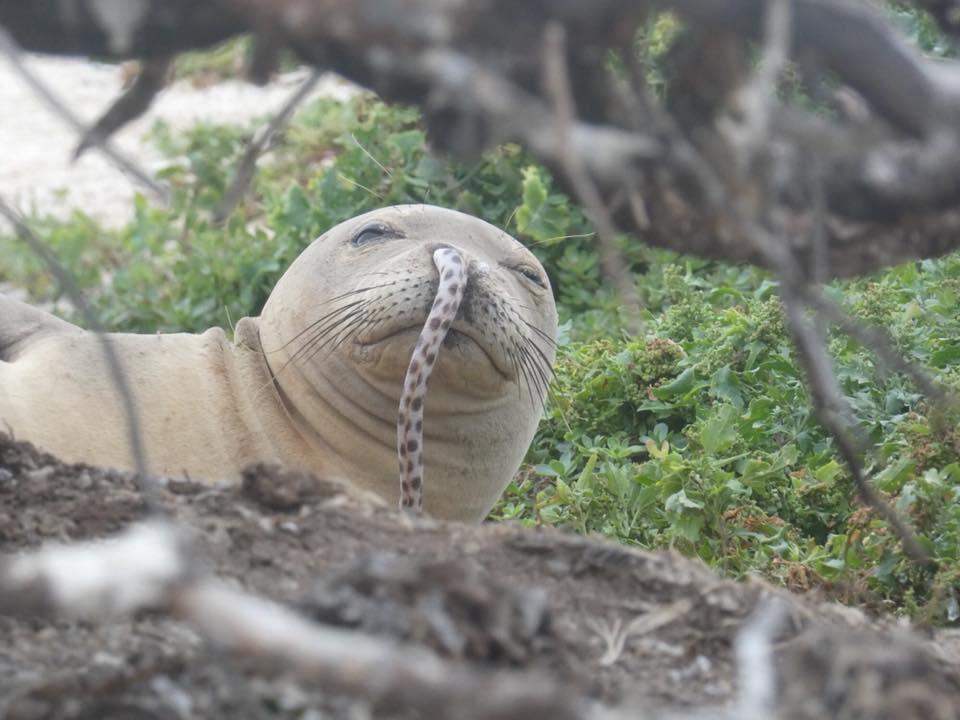 Angolnák kerülnek a barátfókák orrába Hawaiin
