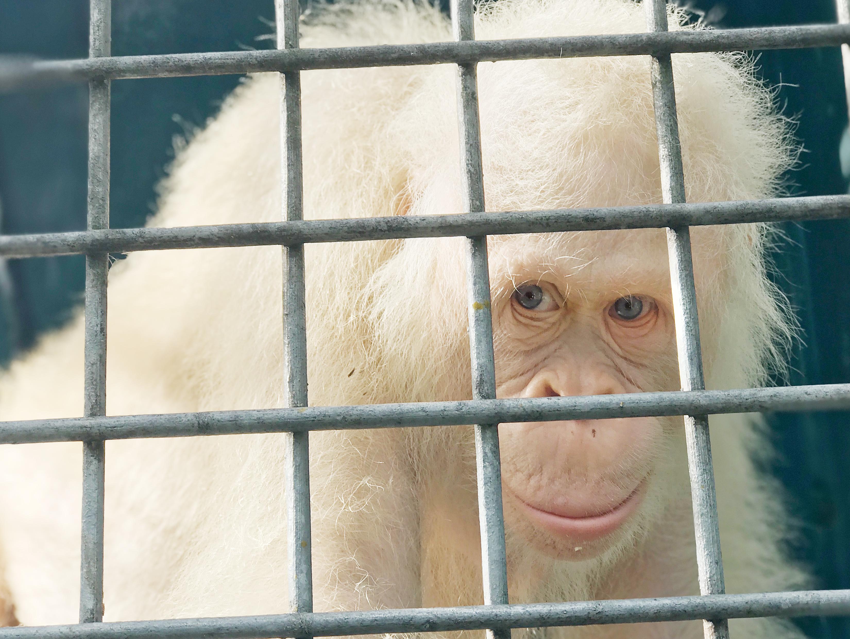 Visszatért a vadonba a világ egyetlen ismert albínó orangutánja
