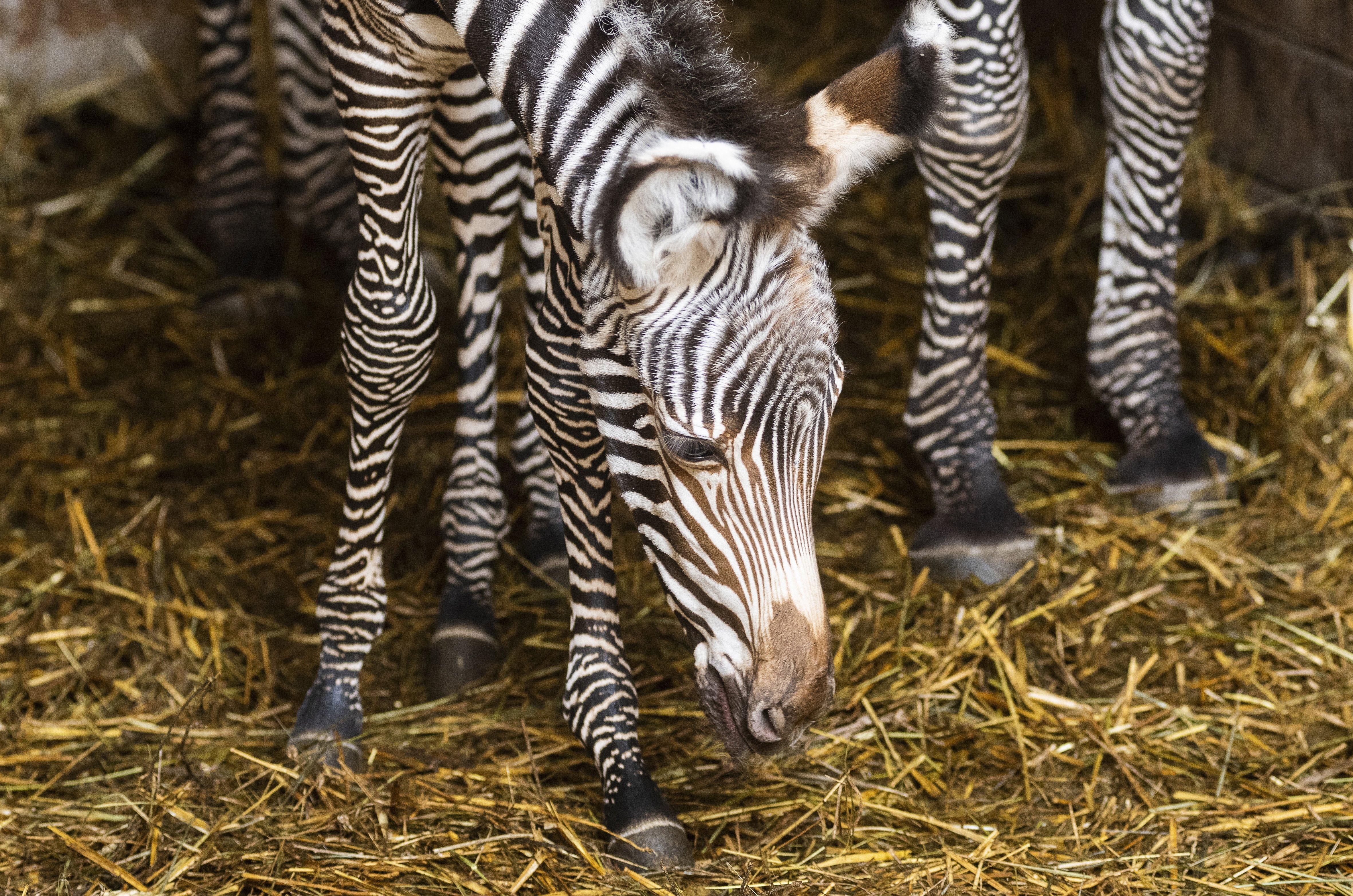 Grévy-zebra született Nyíregyházán