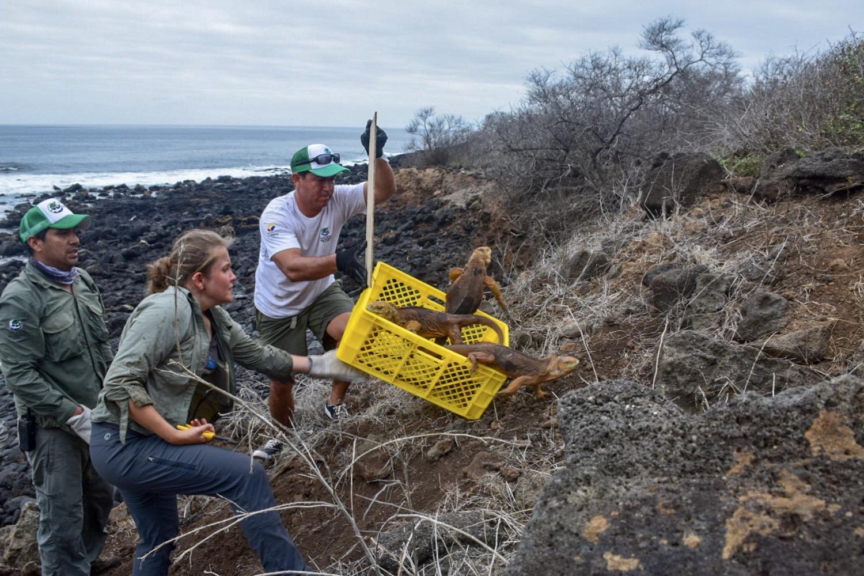 Olyan leguánokat telepítettek be a Galápagos-szigetekre, amilyeneket utoljára Darwin látott ott