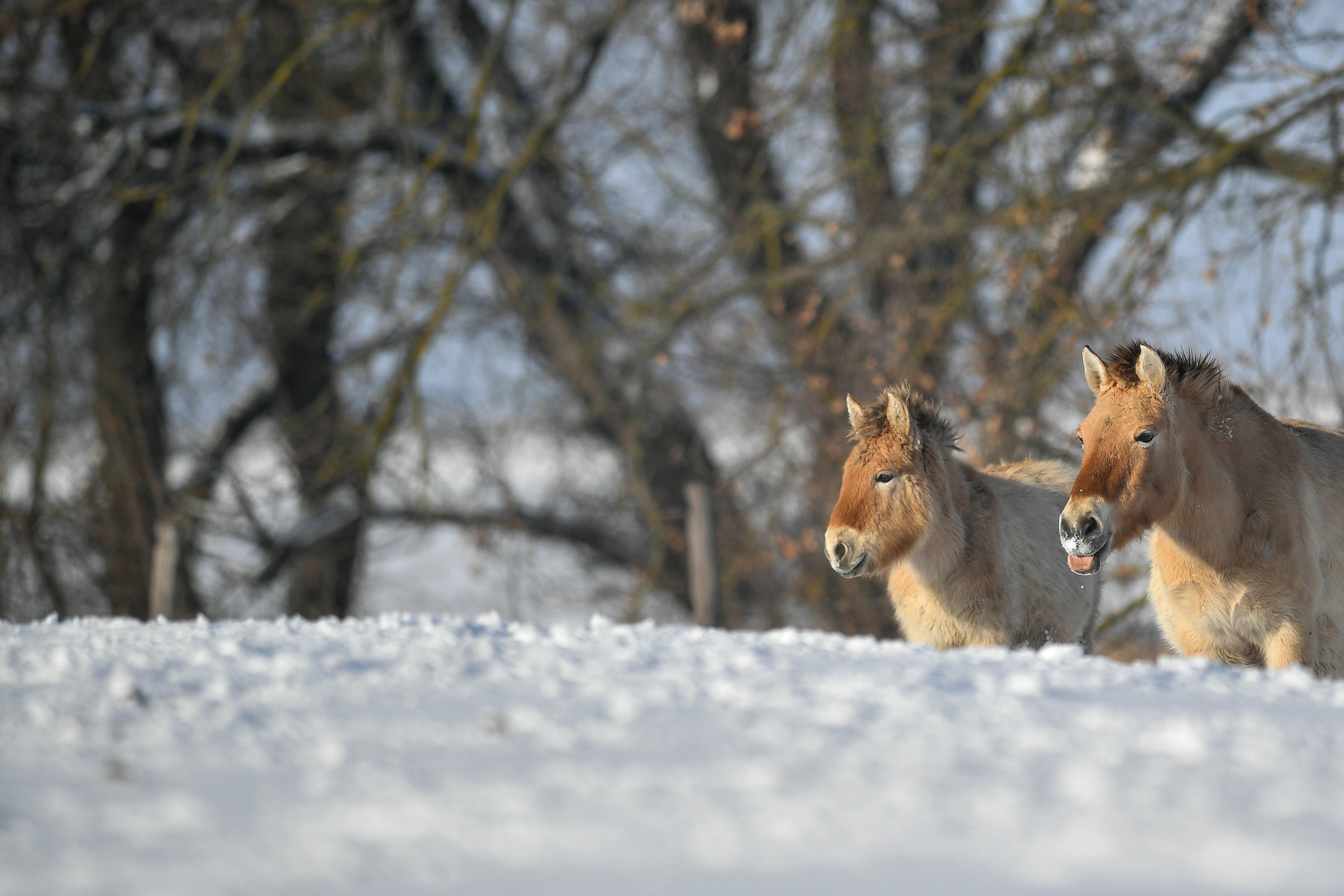 Nagyon jól áll a hó a Hortobágyon élő ázsiai vadlovaknak