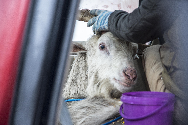 Drámai mentőakcióban fogták be a tatabányai Turul-szobor lábánál élő hatalmas kecskét