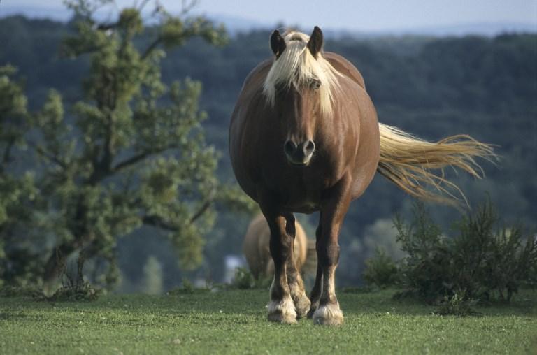 Sorra csonkítják meg a lovakat Franciaországban