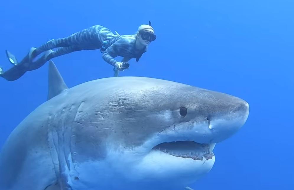 Megsimogatta a világ egyik legnagyobb fehér cápáját egy búvár Hawaiinál