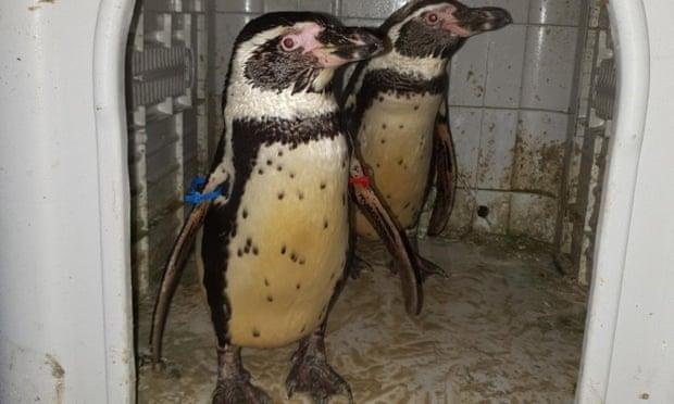 Brit rendőrök találták meg az állatkertből ellopott két pingvint