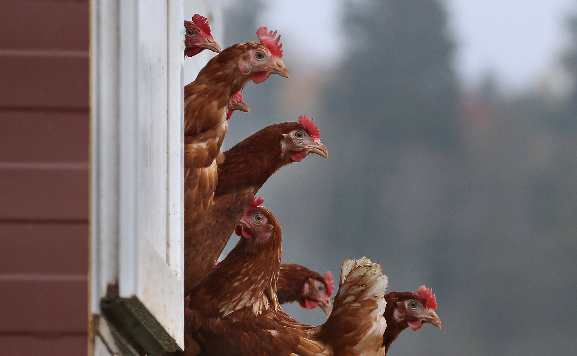Húsvét előtt csökken a tojásár, szomorúak a tojóhibrid-tenyésztők és tojástermelők