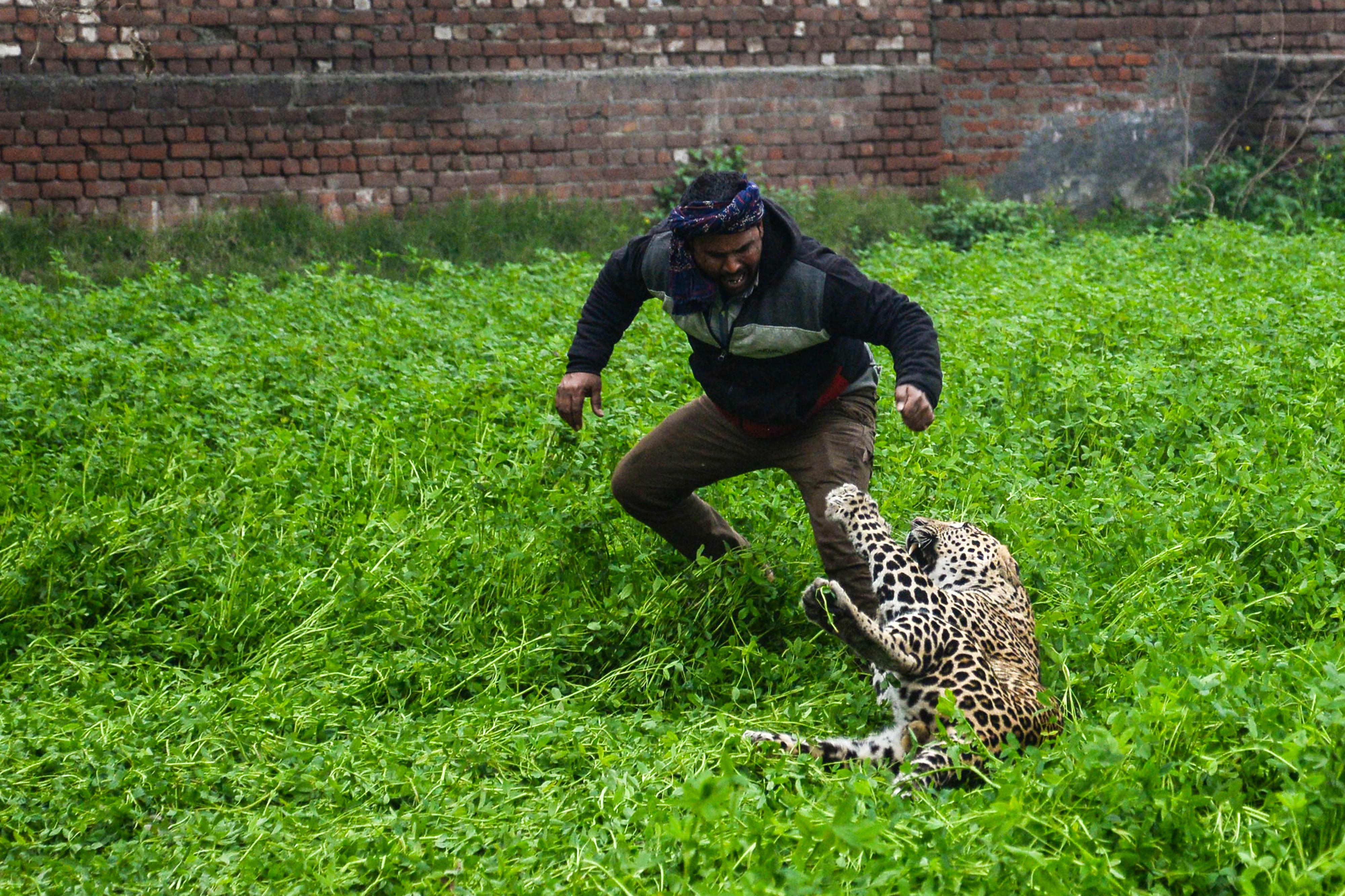 Felbőszült leopárd rendezett ámokfutást egy indiai településen