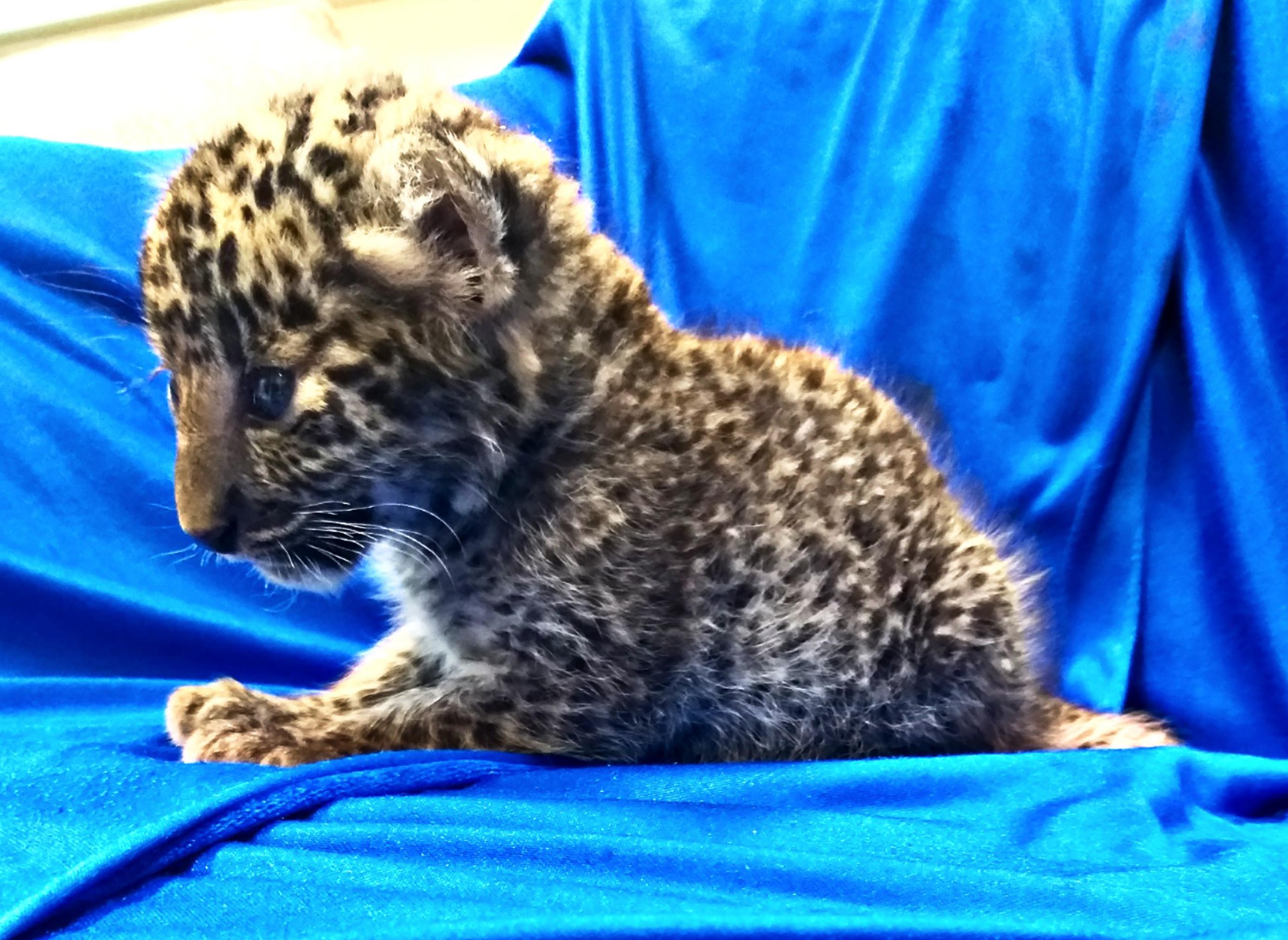 Leopárdkölyköt találtak az egyik utas táskájában egy indiai reptéren