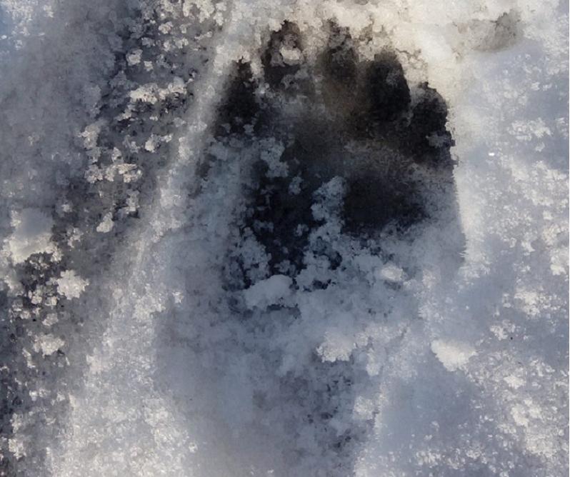 Itt az újabb kószáló medve, végigszaladt Szalonnán, de ki tudja, hol áll meg