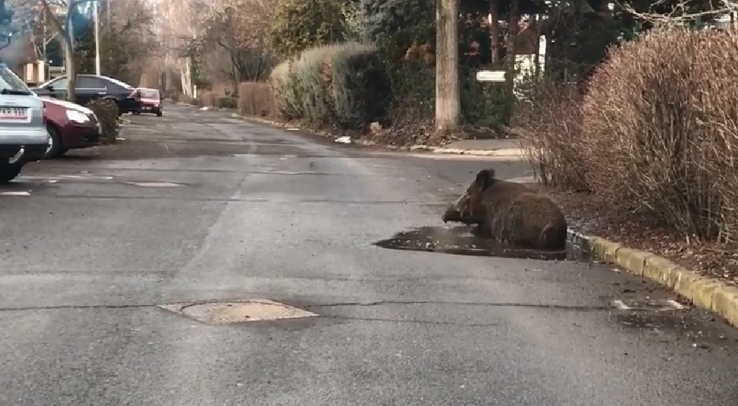 Kátyúnak rég örültek úgy Debrecenben, mint ez a dagonyázó vaddisznó