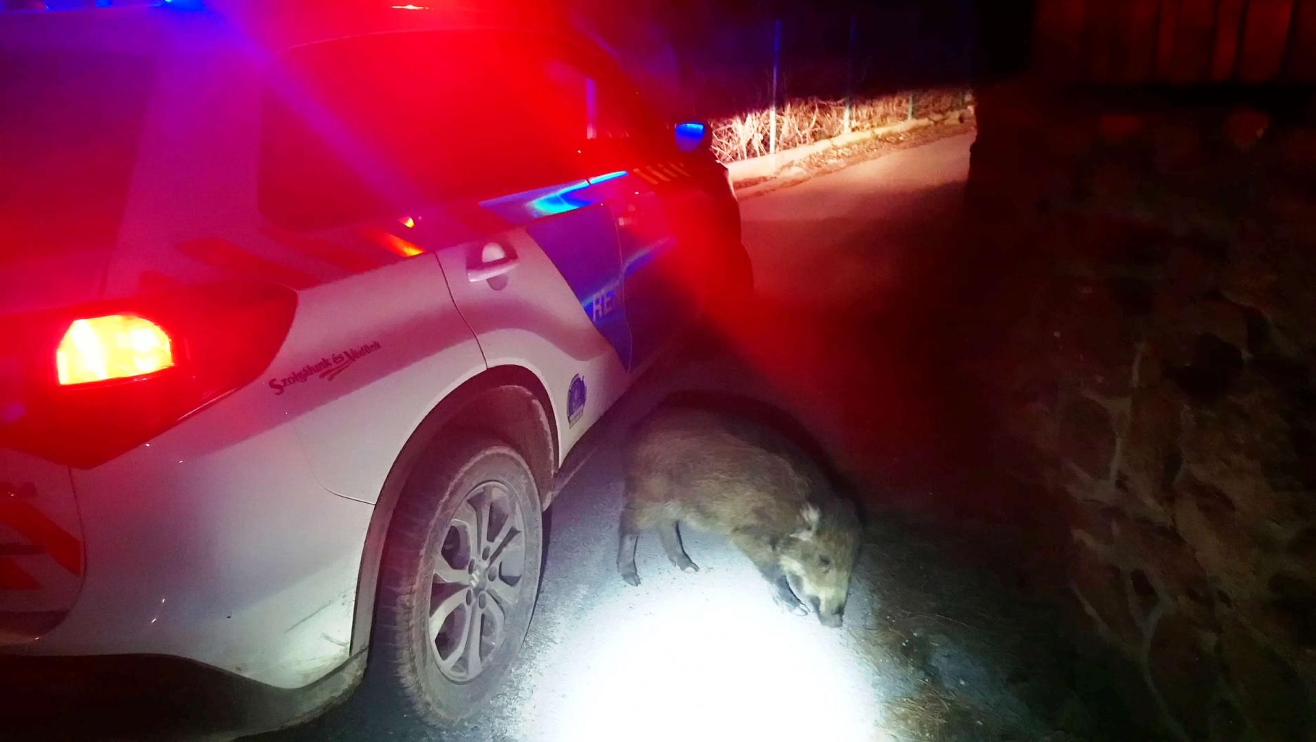Vadmalac bóklászott az úton egy rendőrautó előtt