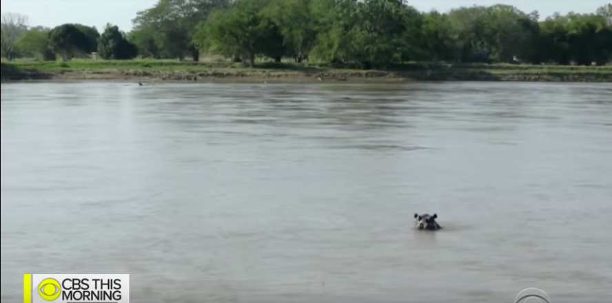 Escobar elkóborolt vízilovai elszaporodtak Kolumbiában, nem tudnak mit kezdeni velük