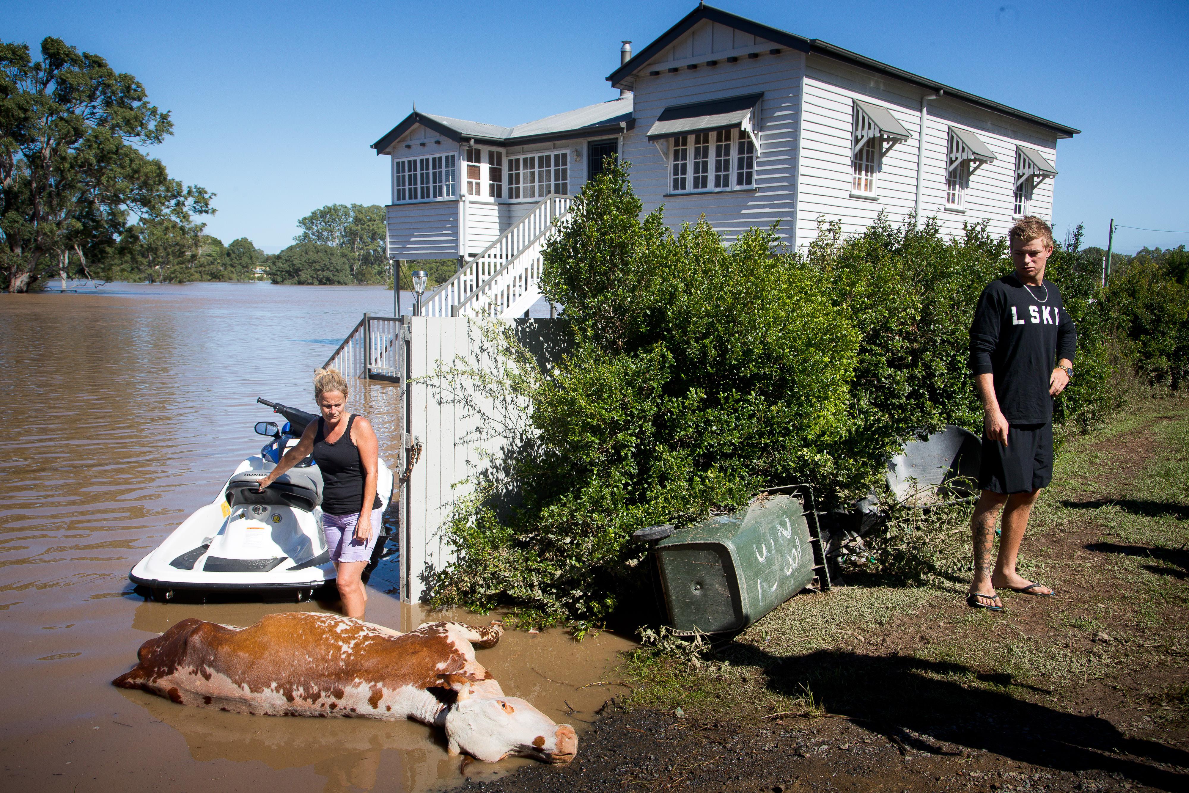 Félmillió ausztrál marha túlélte a példátlan szárazságot, majd megfulladtak az árvízben