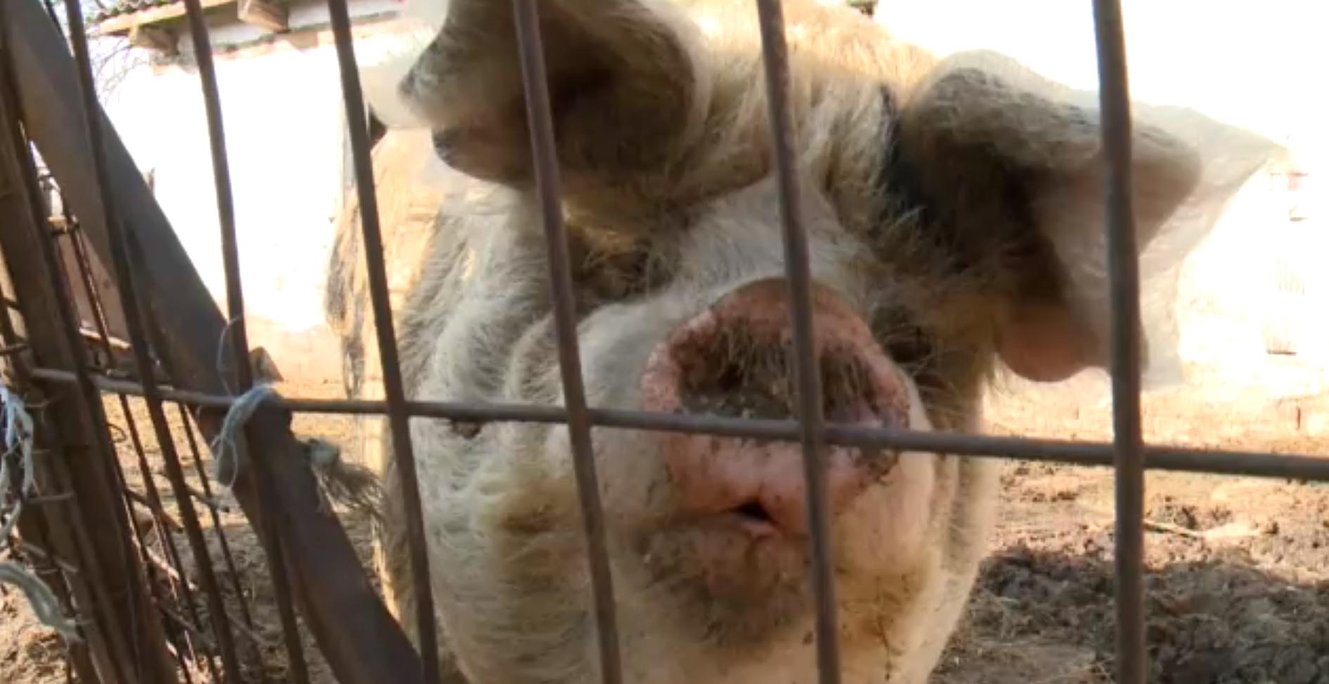 A főállatorvos elismerte, hogy a sertéspestis legkisebb gyanújára kiirtják a disznóállományt