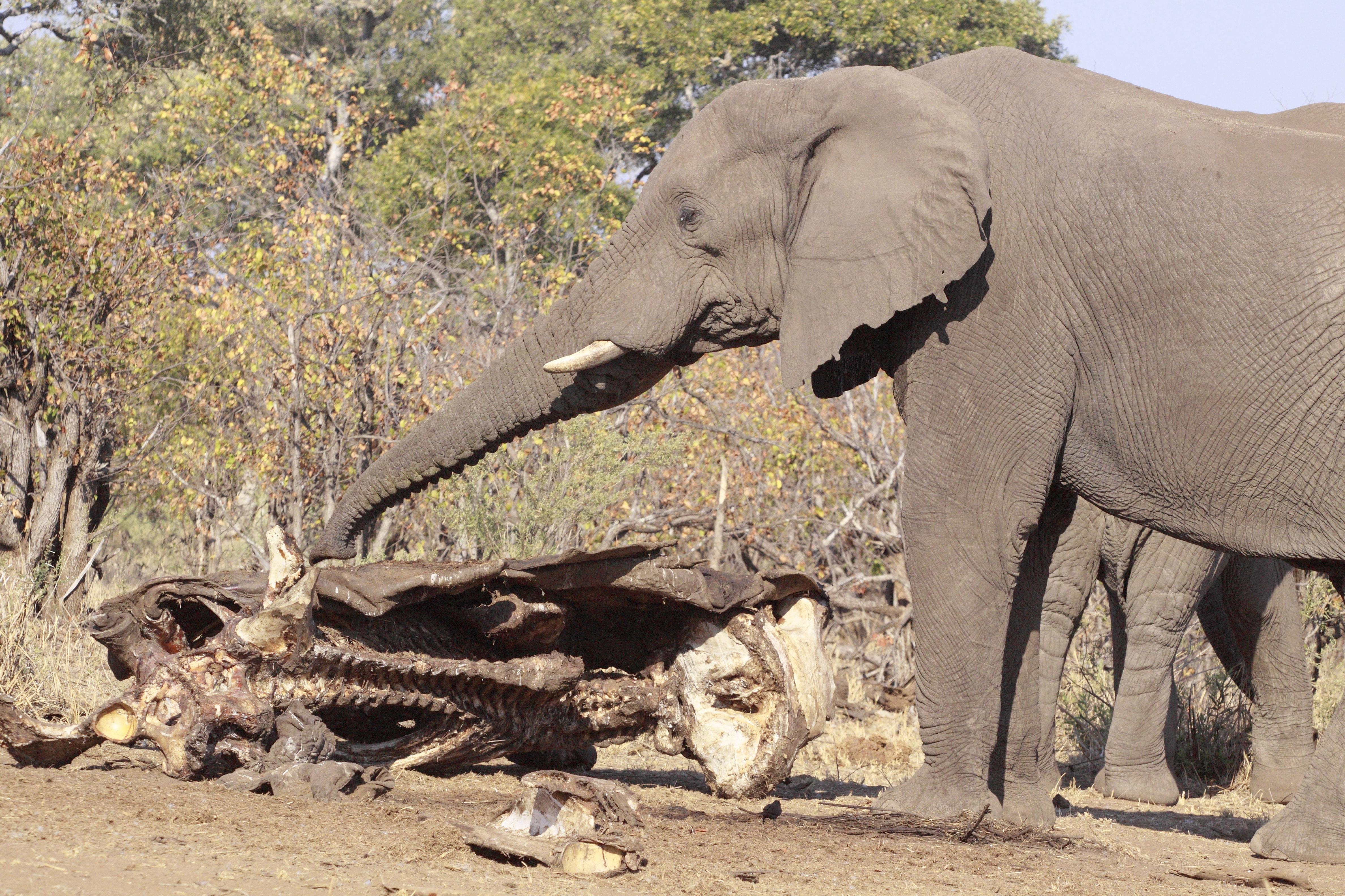 55 elefánt pusztult el az aszály miatt Zimbabwéban