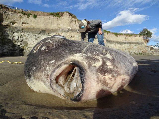 Nagyon ritka és óriási holdhal tetemét mosta partra a víz Kaliforniában