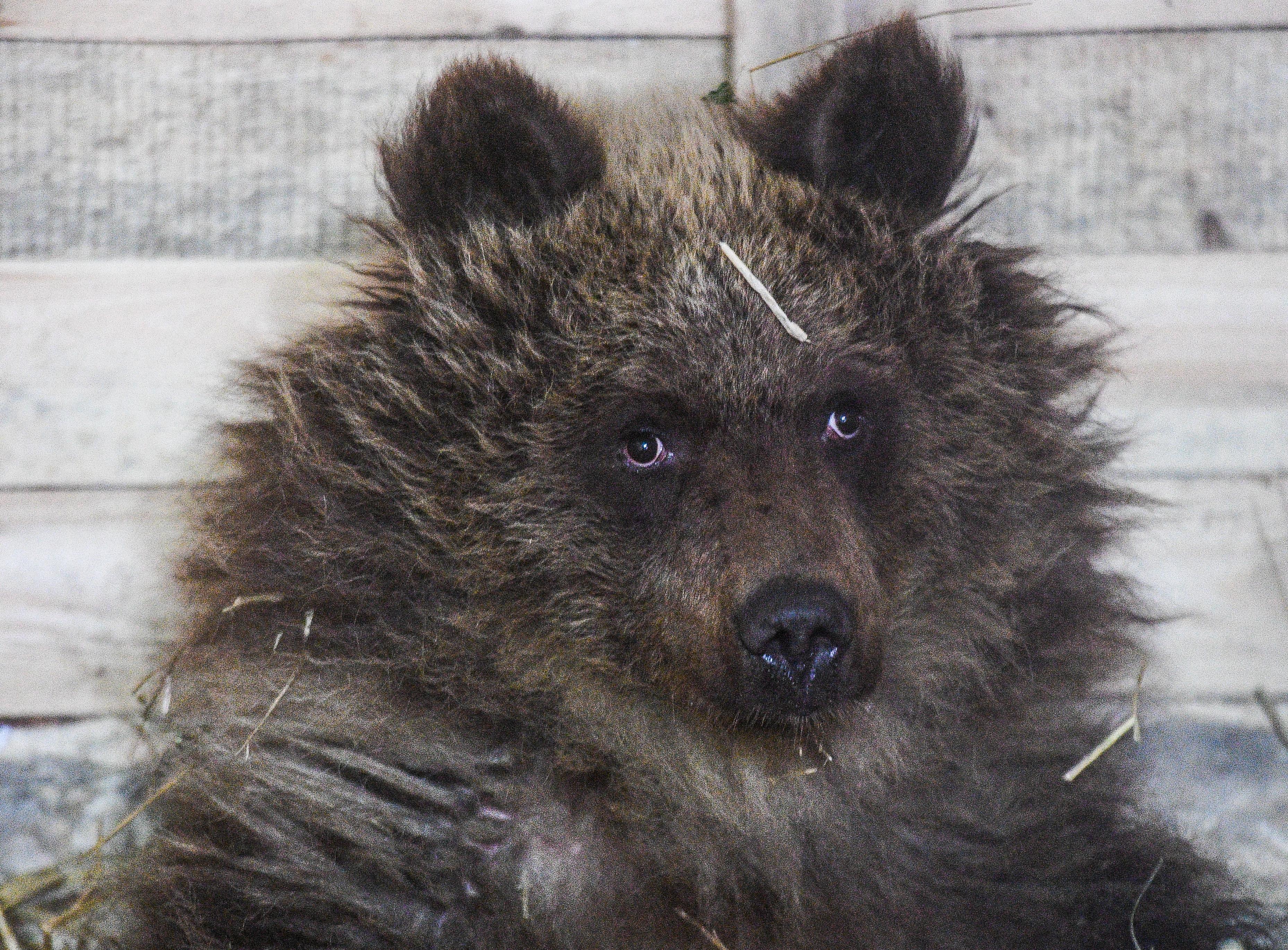 Kukába szorult egy medvebocs Tusnádfürdőn