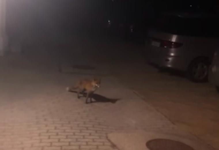 Szemtől szembe találkoztam az általam leleplezett, Moszkva tér fölött lakó rókával, aki megdöbbentő dolgokat művelt