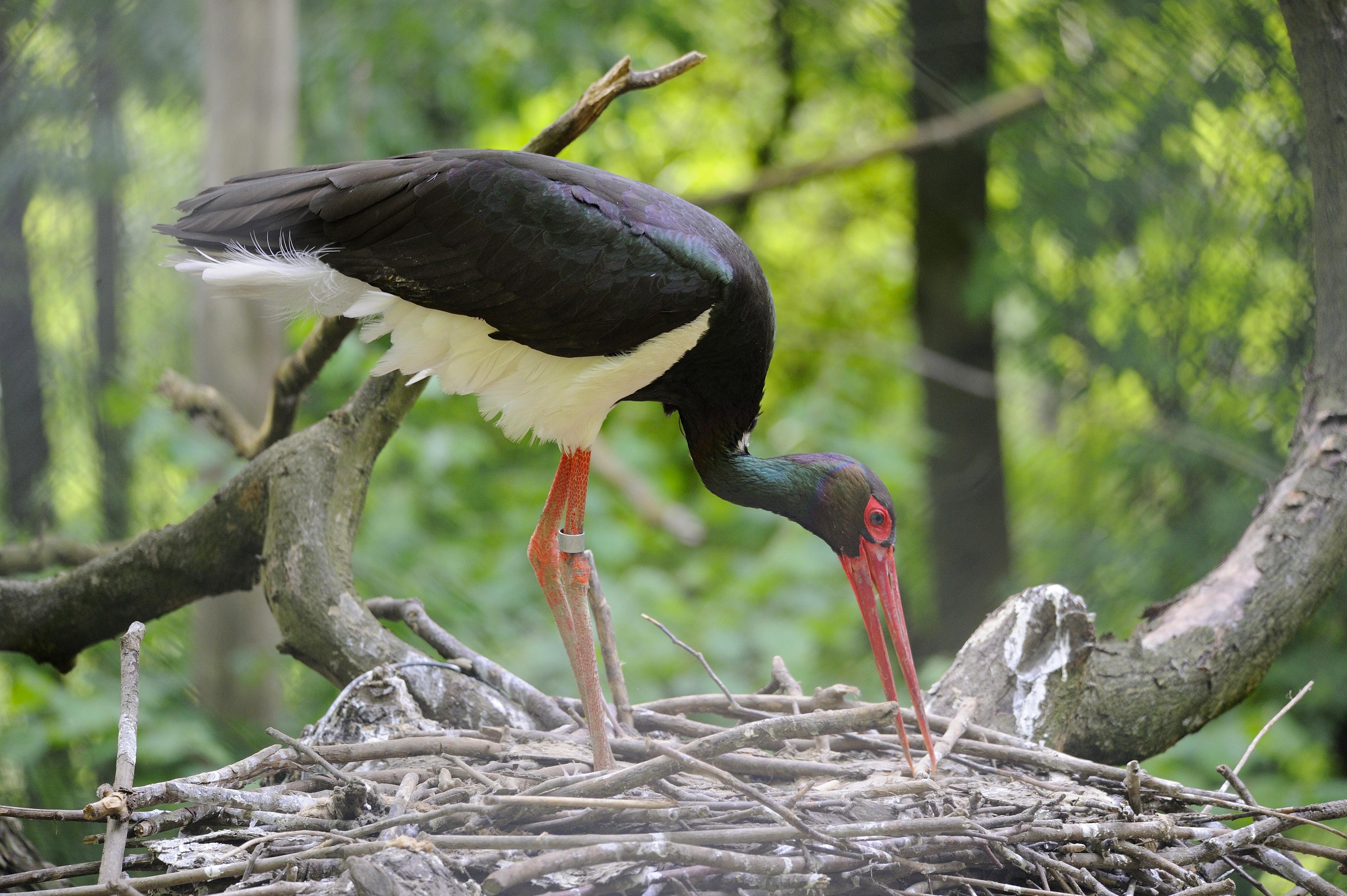 6 ezer kilométert repült Közép-Afrikától hazáig, de megérkezett a gemenci erdőbe Zoltán, a gólya
