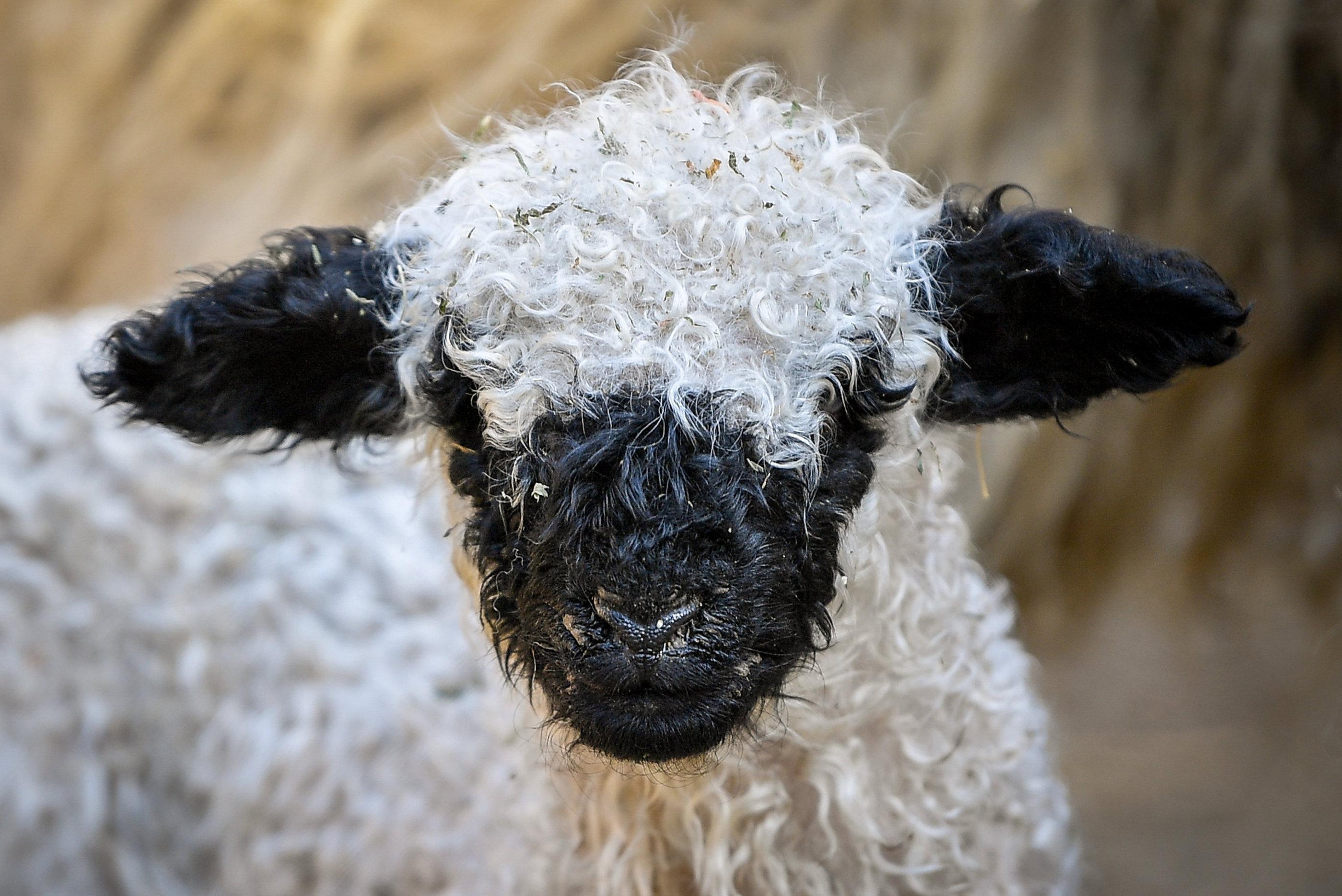 Wallisi feketeorrú bárány született Debrecenben