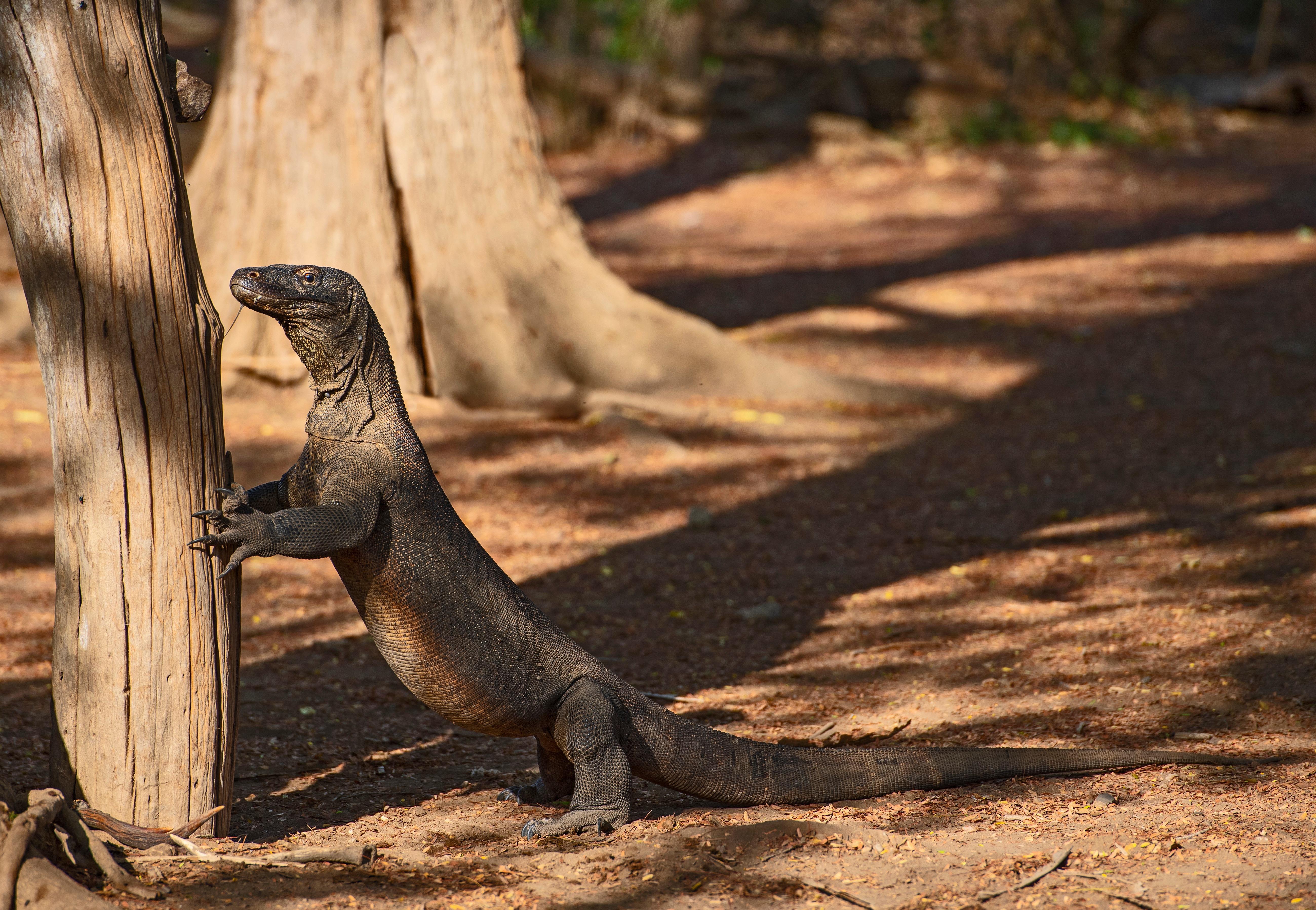 A sárkányok védelmében kitiltják a turistákat Komodo szigetéről