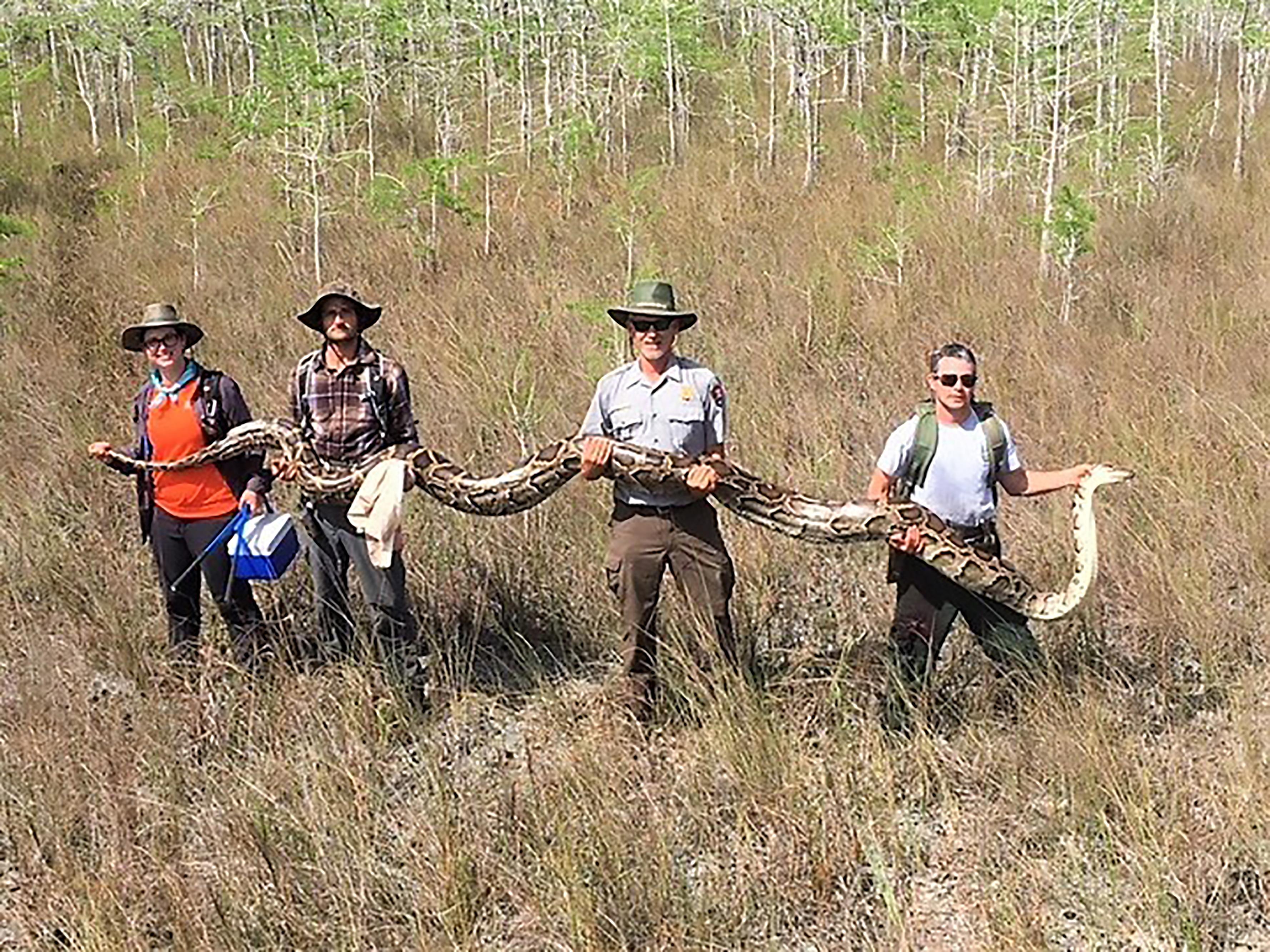 Akkora kígyót találtak Floridában, amekkora egy szarvast is lenyelhetett volna