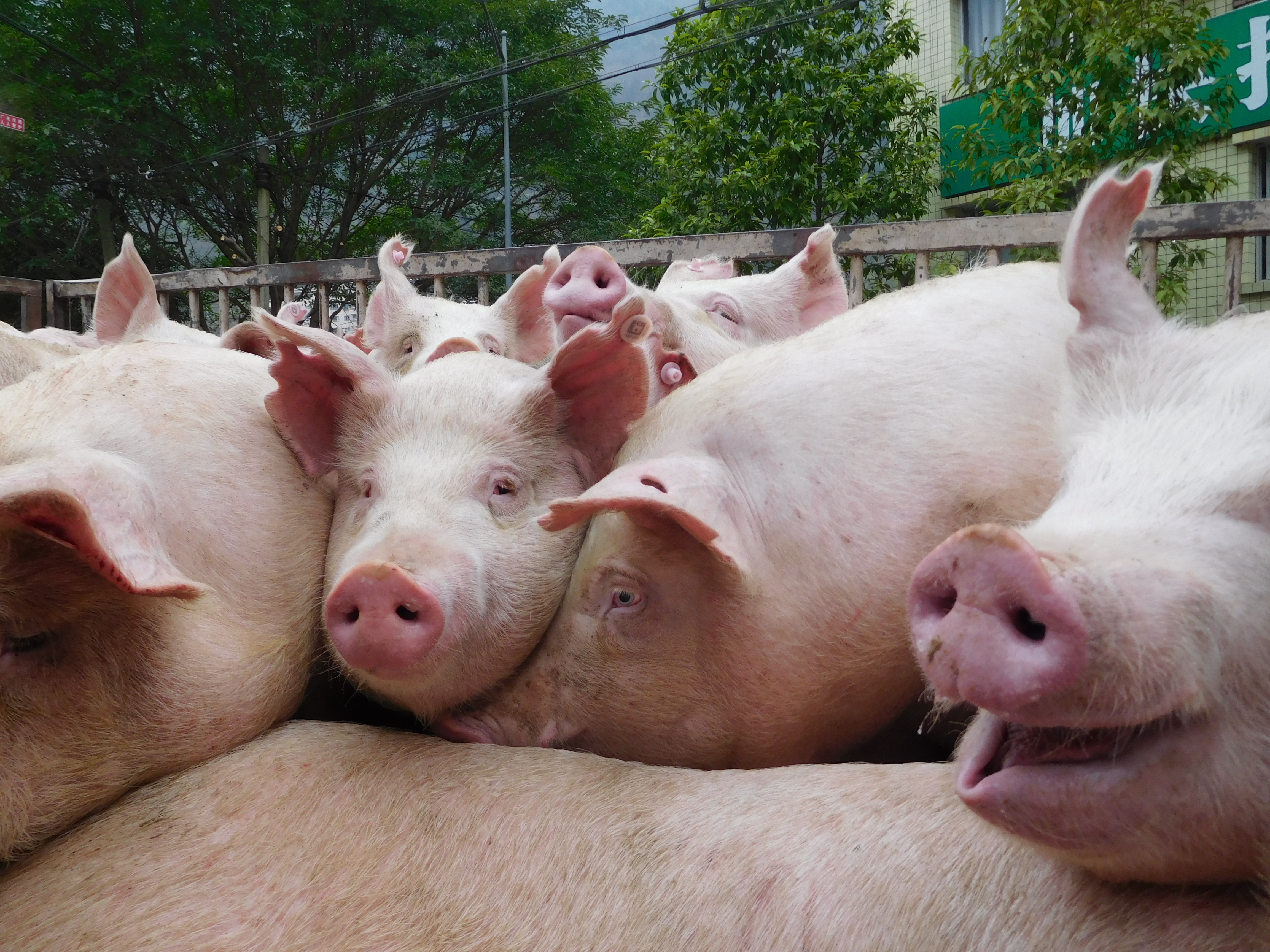 200 millió disznó eshet áldozatul a kínai sertéspestis-járványnak