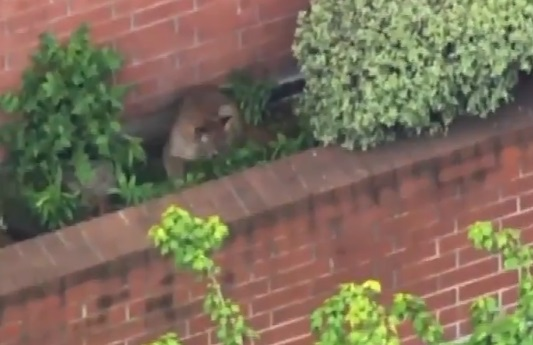 Szundikáló pumára bukkantak egy kaliforniai pláza kertjében