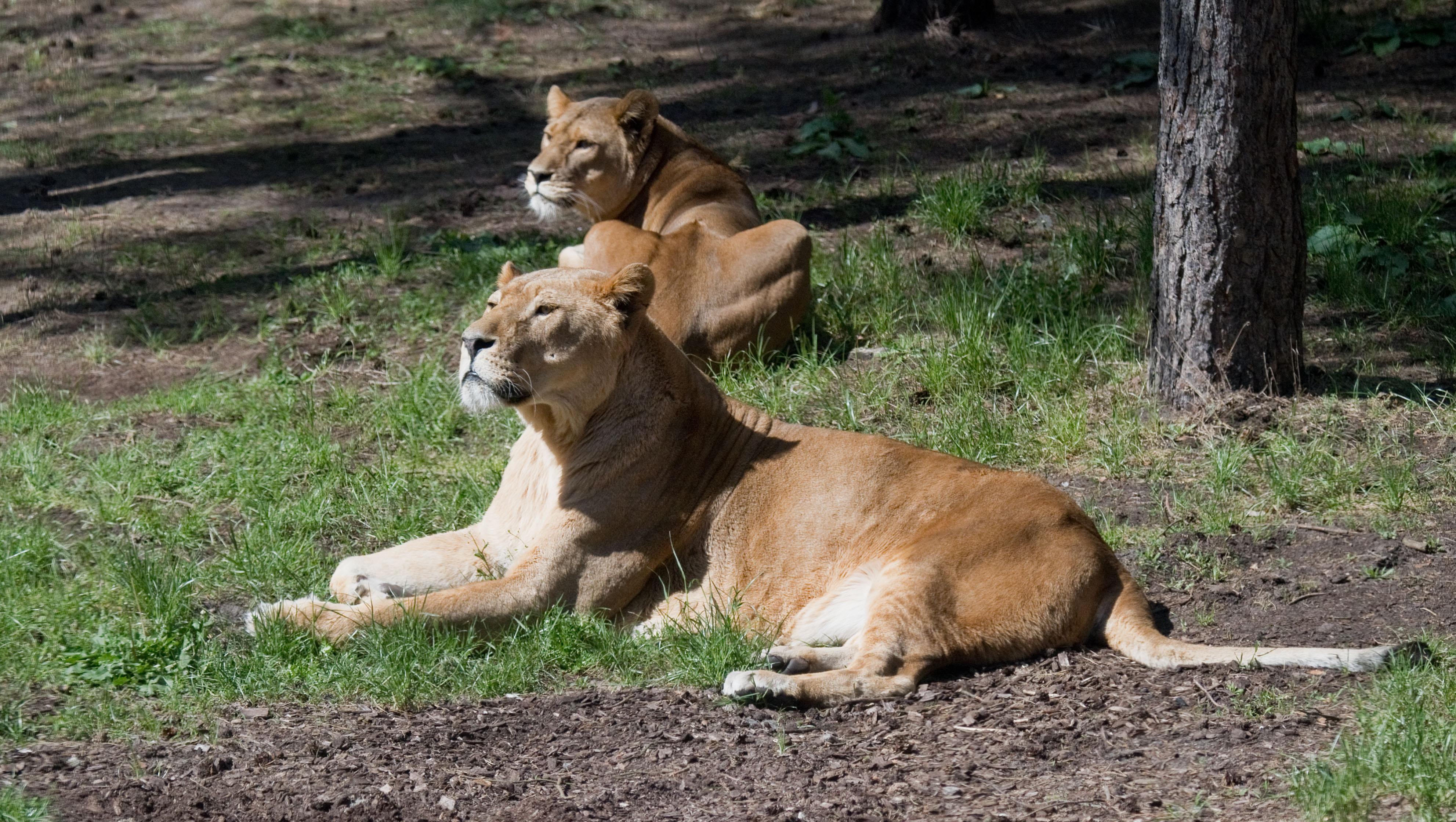 Négy oroszlán kaphatta el a koronavírust egy spanyol állatkertben
