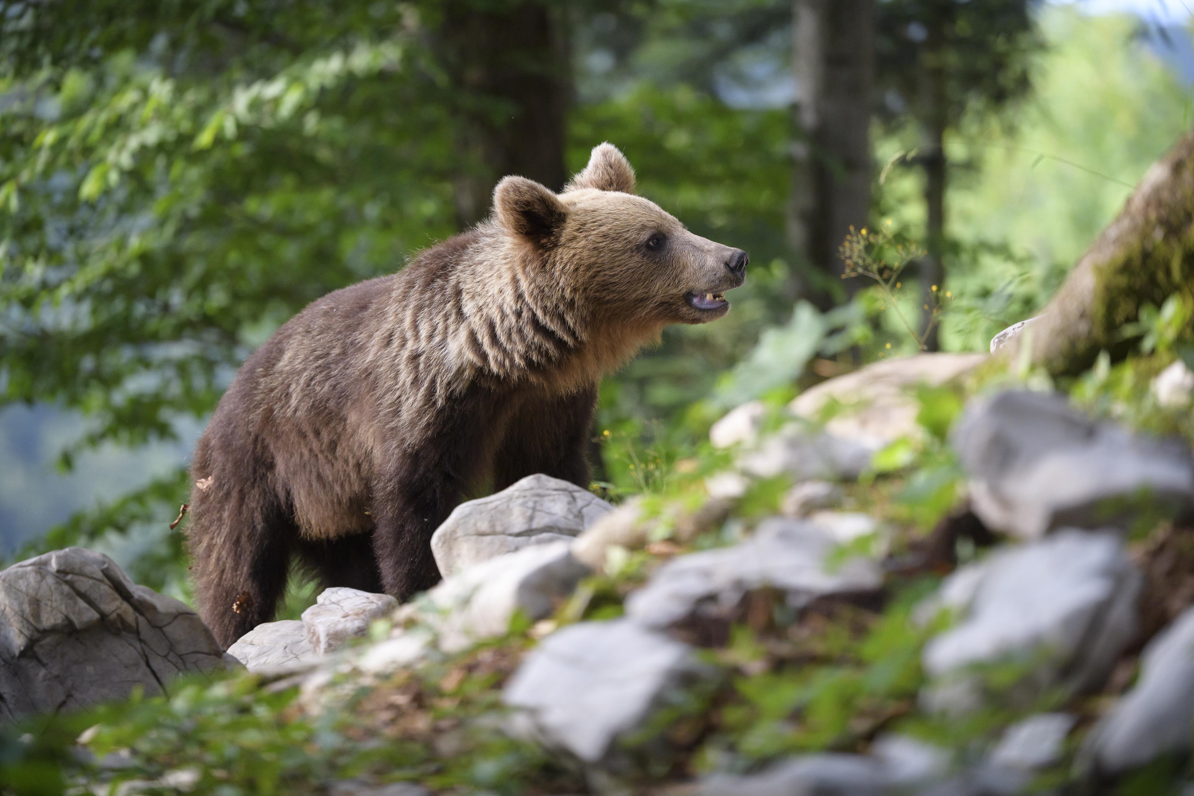 A francia hatóságok elengedtek egy szlovén barnamedvét a Pireneusokban, erre az elkezdte ölni a spanyol bárányokat