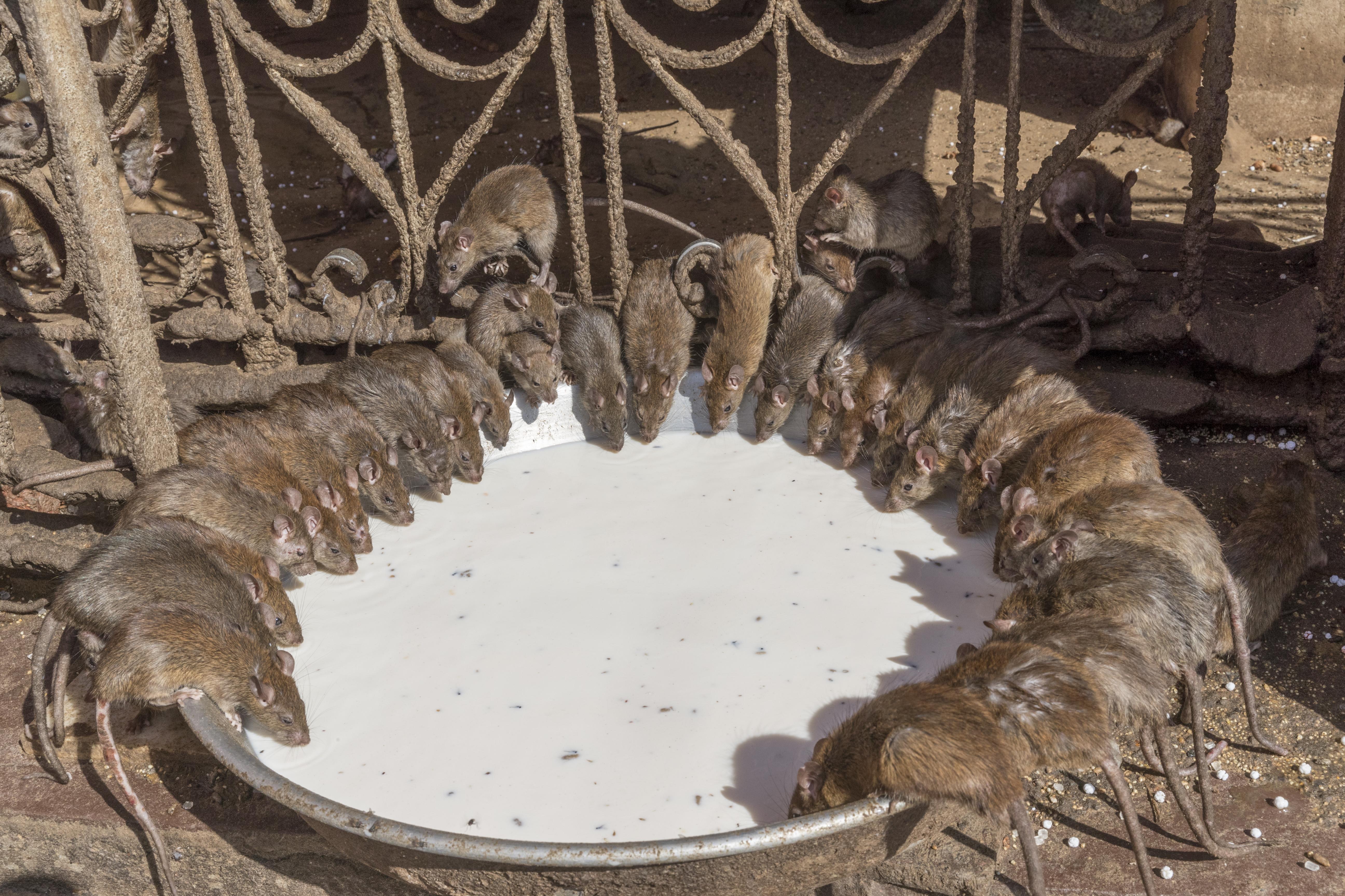 Tíz kerületben kezdik irtani a patkányokat