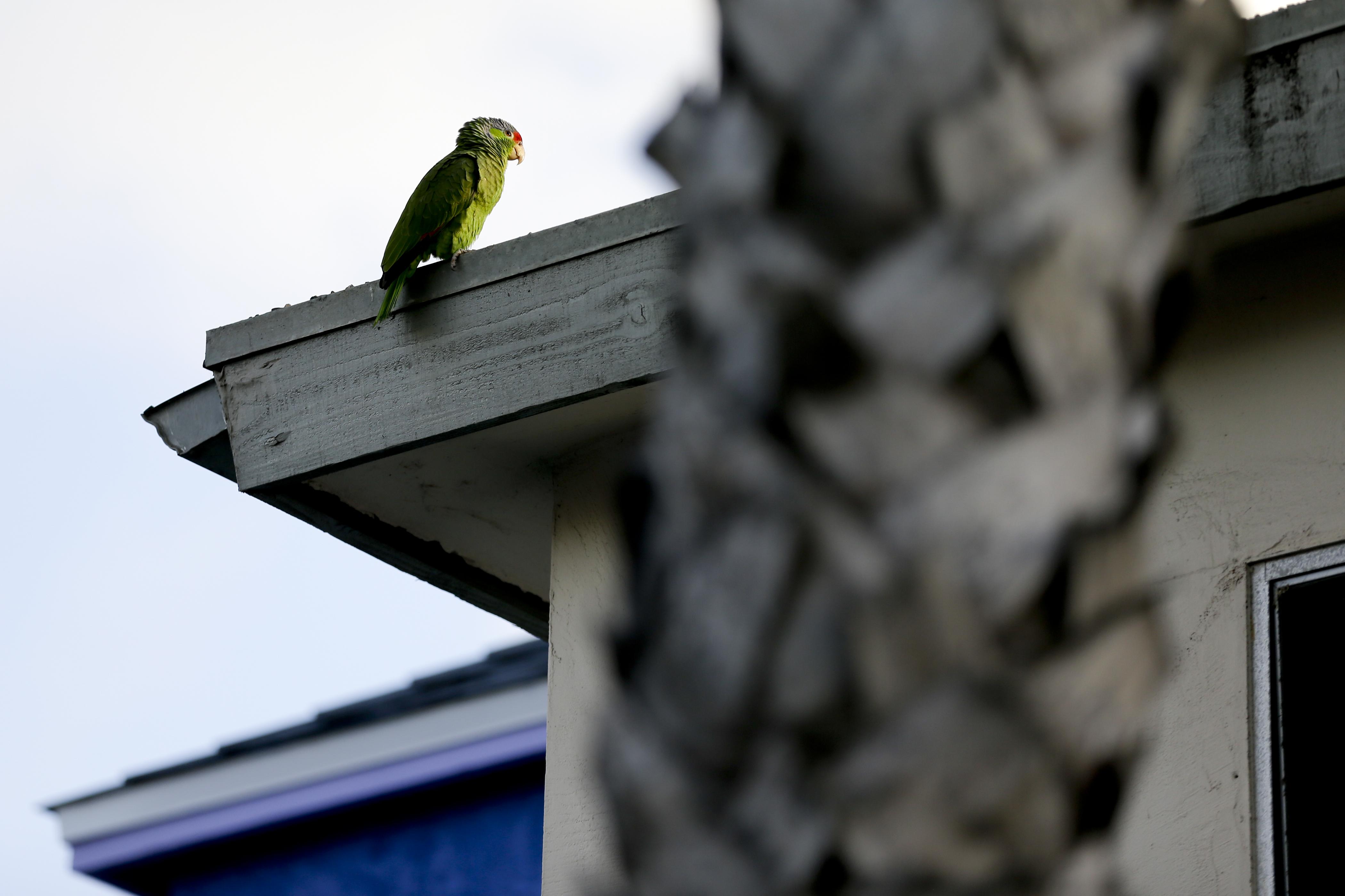 Annyira elszaporodtak a szökött papagájok, hogy 23 amerikai államban már honos állatfajnak nyilvánították