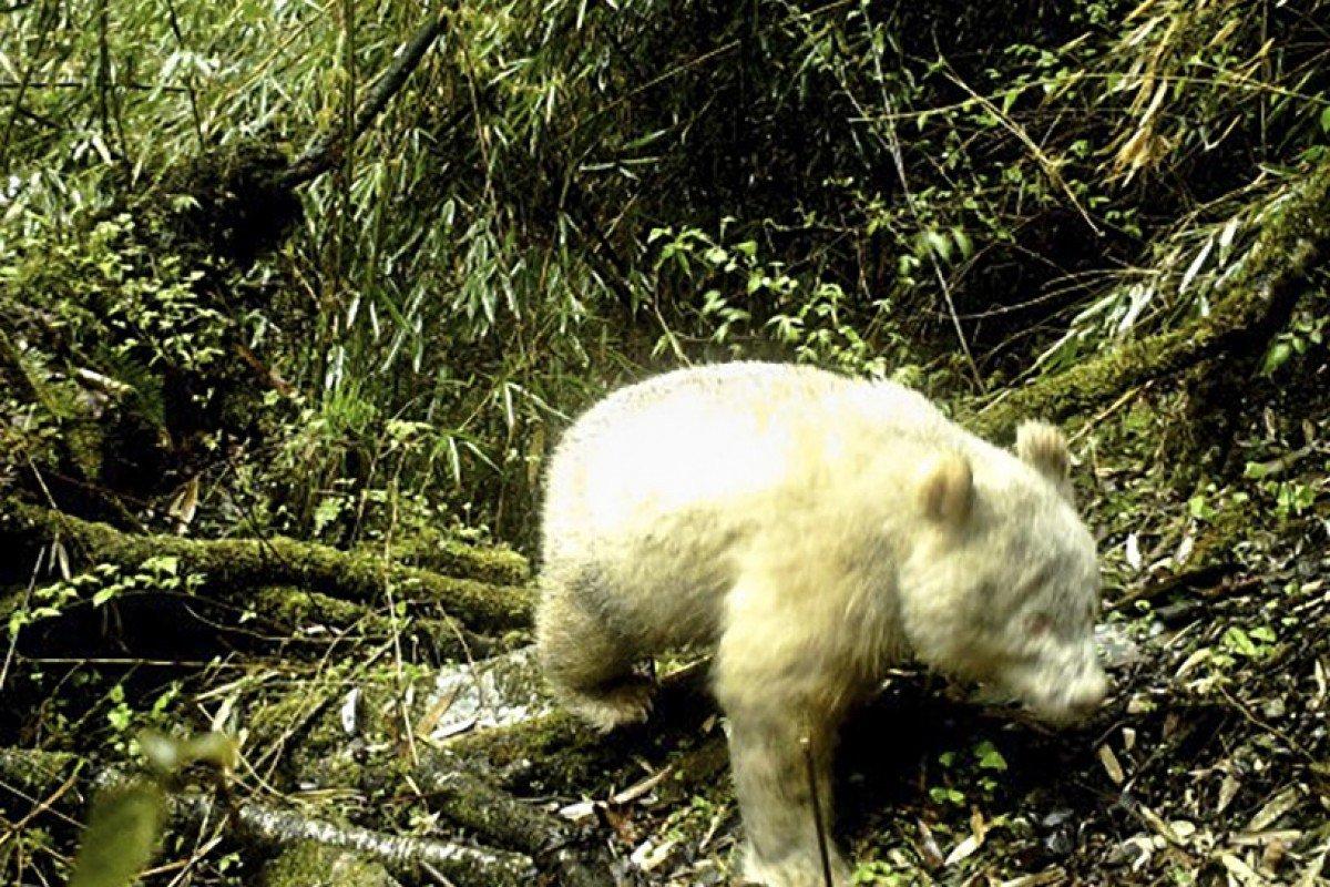 Ez a történelem első fotója egy vadon lefotózott albínó pandáról