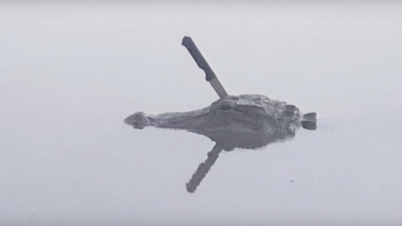 Késsel a fejében úszkál egy aligátor egy texasi tóban