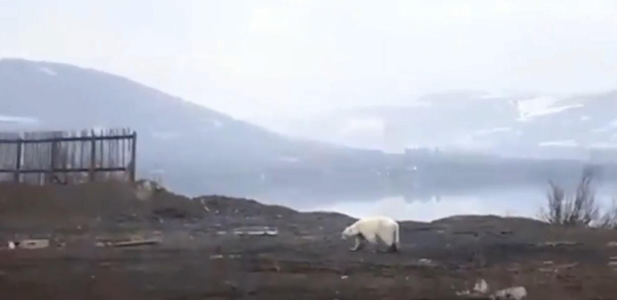 Lehet, hogy nem eltévedt az Norilszkban feltűnt jegesmedve, hanem illegálisan tartották valahol a város környékén