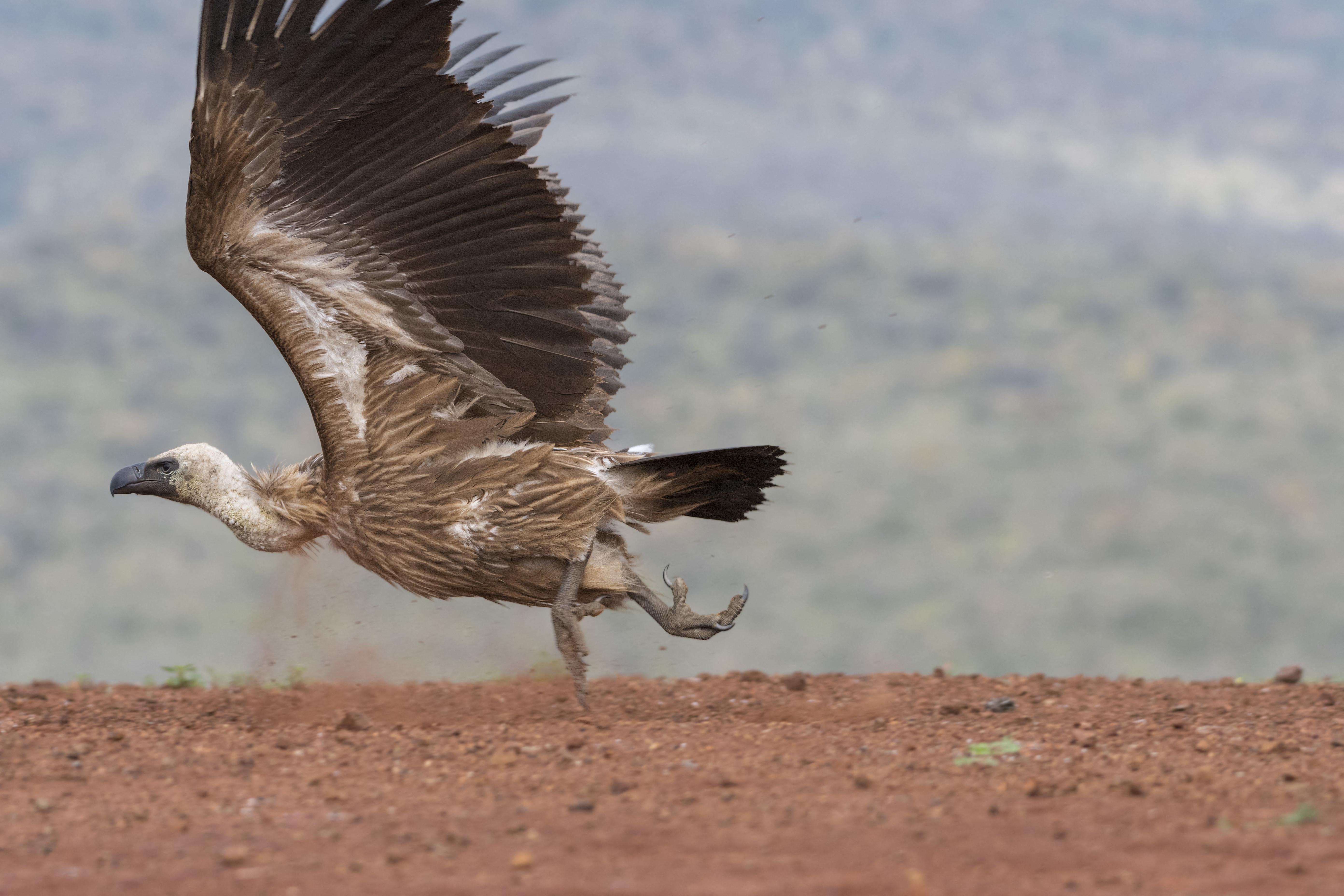 Megmérgeztek 500 példányt egy kihalás szélén álló keselyűfajból