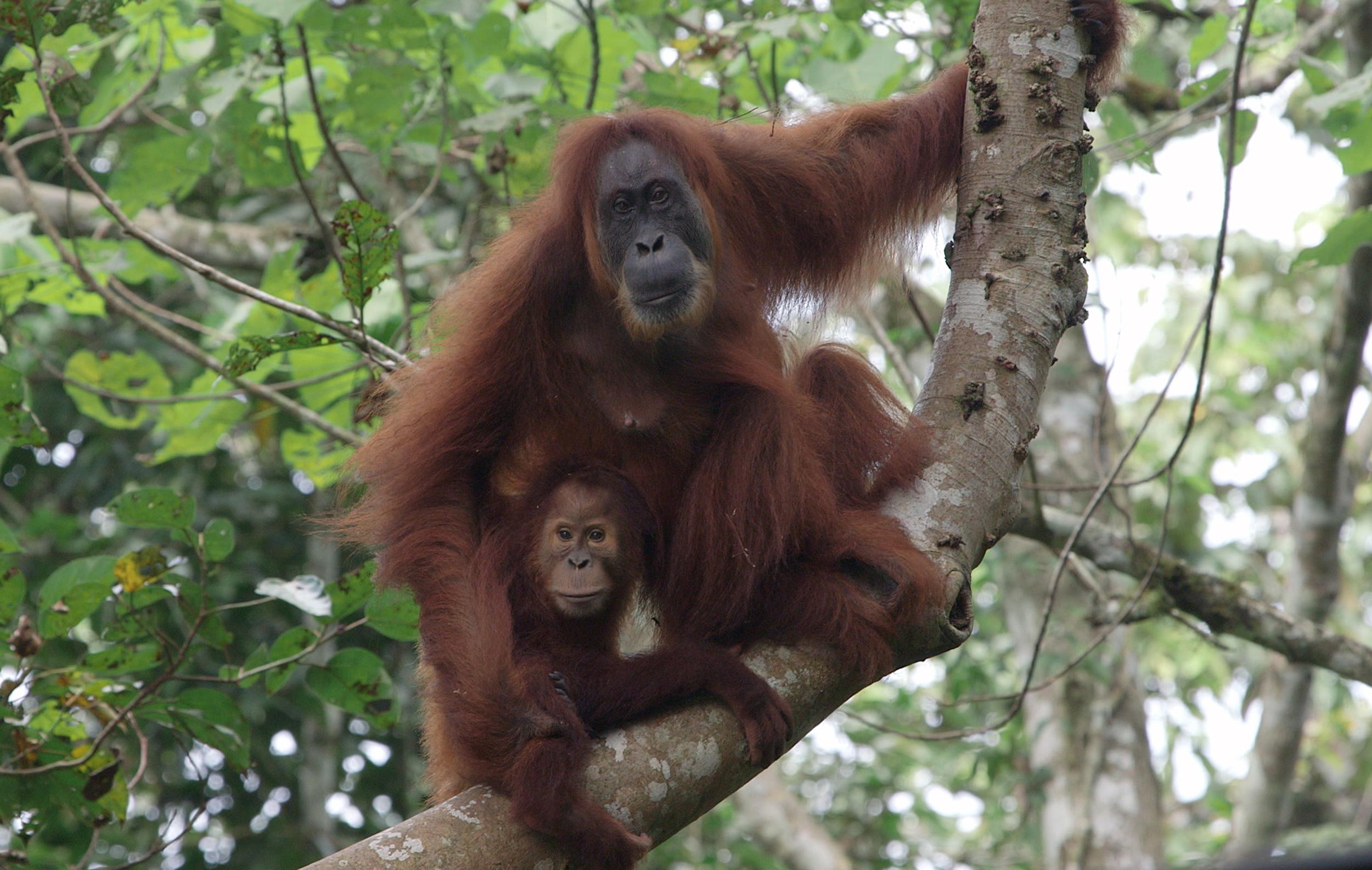 Két orangután tragikus története mutatja meg, milyen pusztításokat okoz a világ pálmaolaj-fogyasztása az őserdőkben