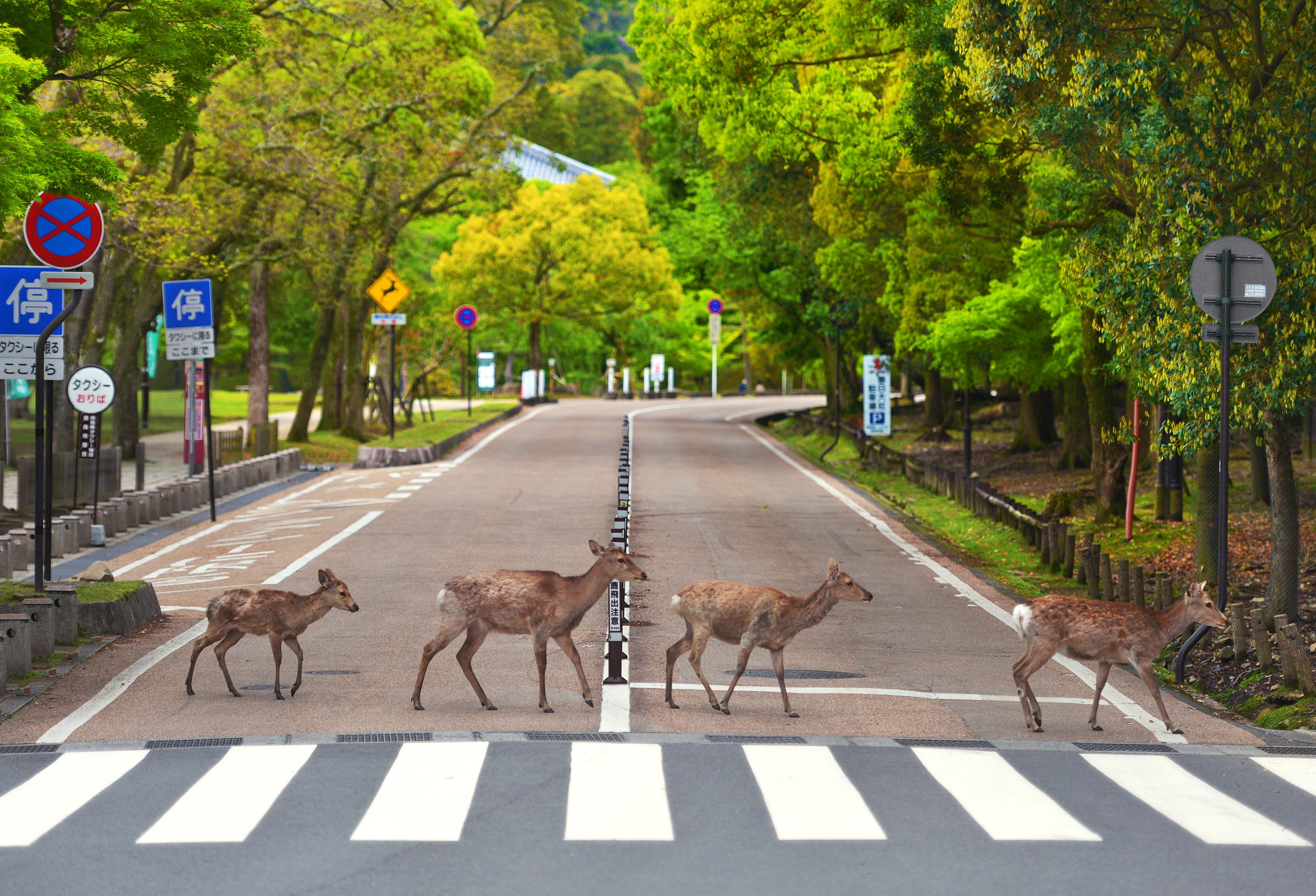 Műanyagszeméttől pusztulnak Japán legendás városlakó vad szarvasai