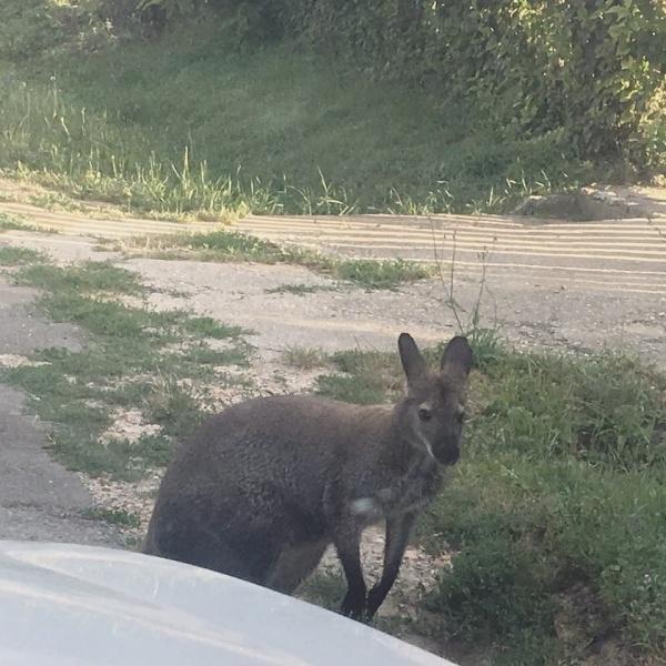 Rendőrök próbáltak befogni egy kengurut Igalban