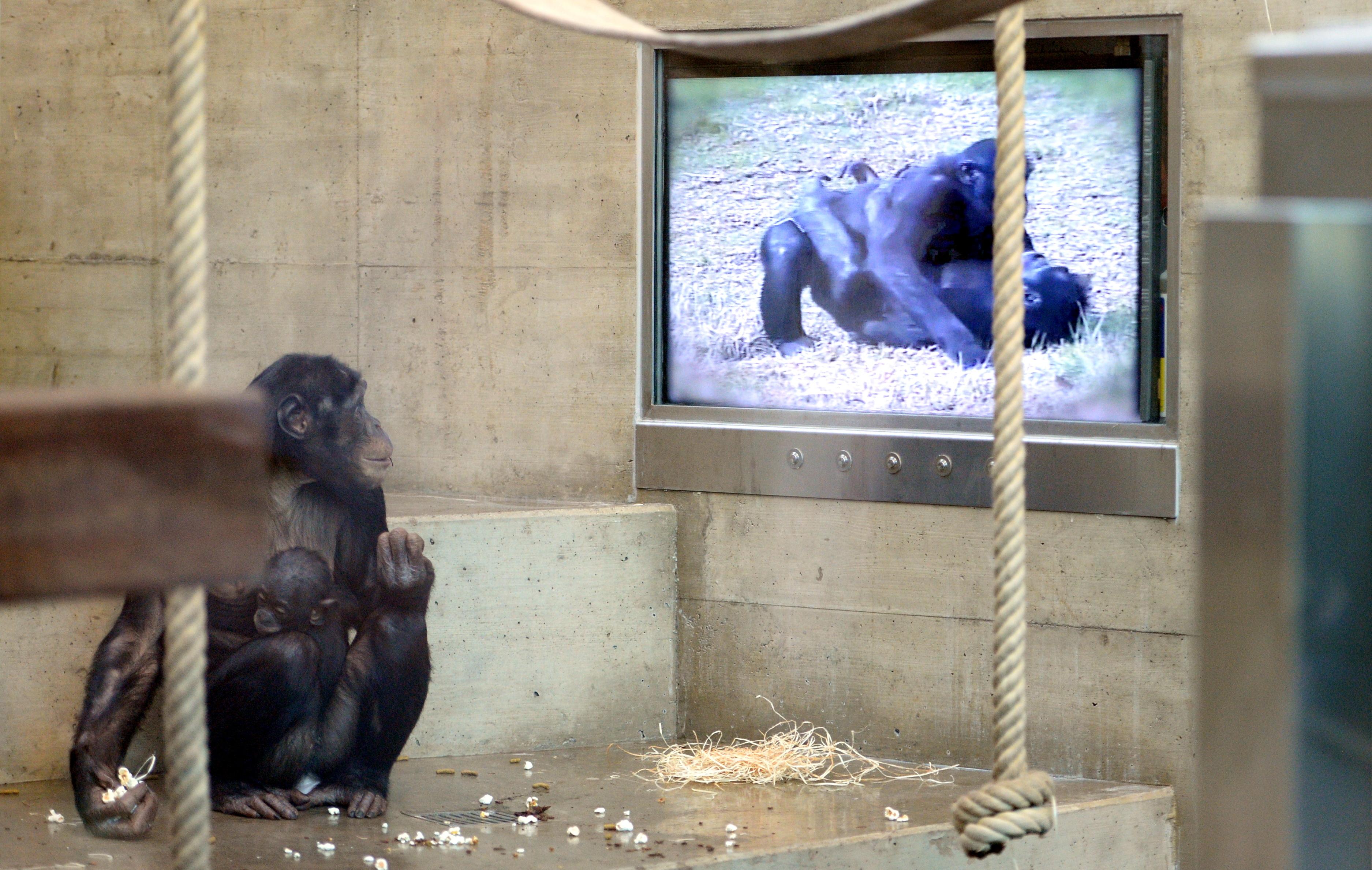 A csimpánzok is jobban szeretnek együtt mozizni