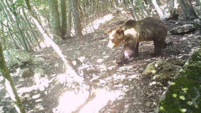 Fél Olaszország M49-nek, a szabadulóművész medvének drukkol