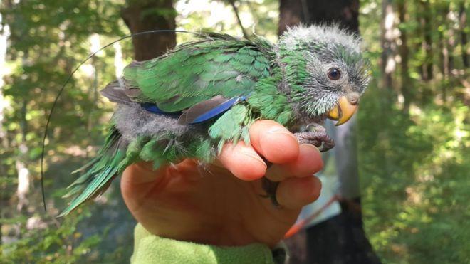 Újra szaporodik a kakariki karaka, a világ legbutább szárnyasának, az új-zélandi kakamadárnak egy közeli rokona