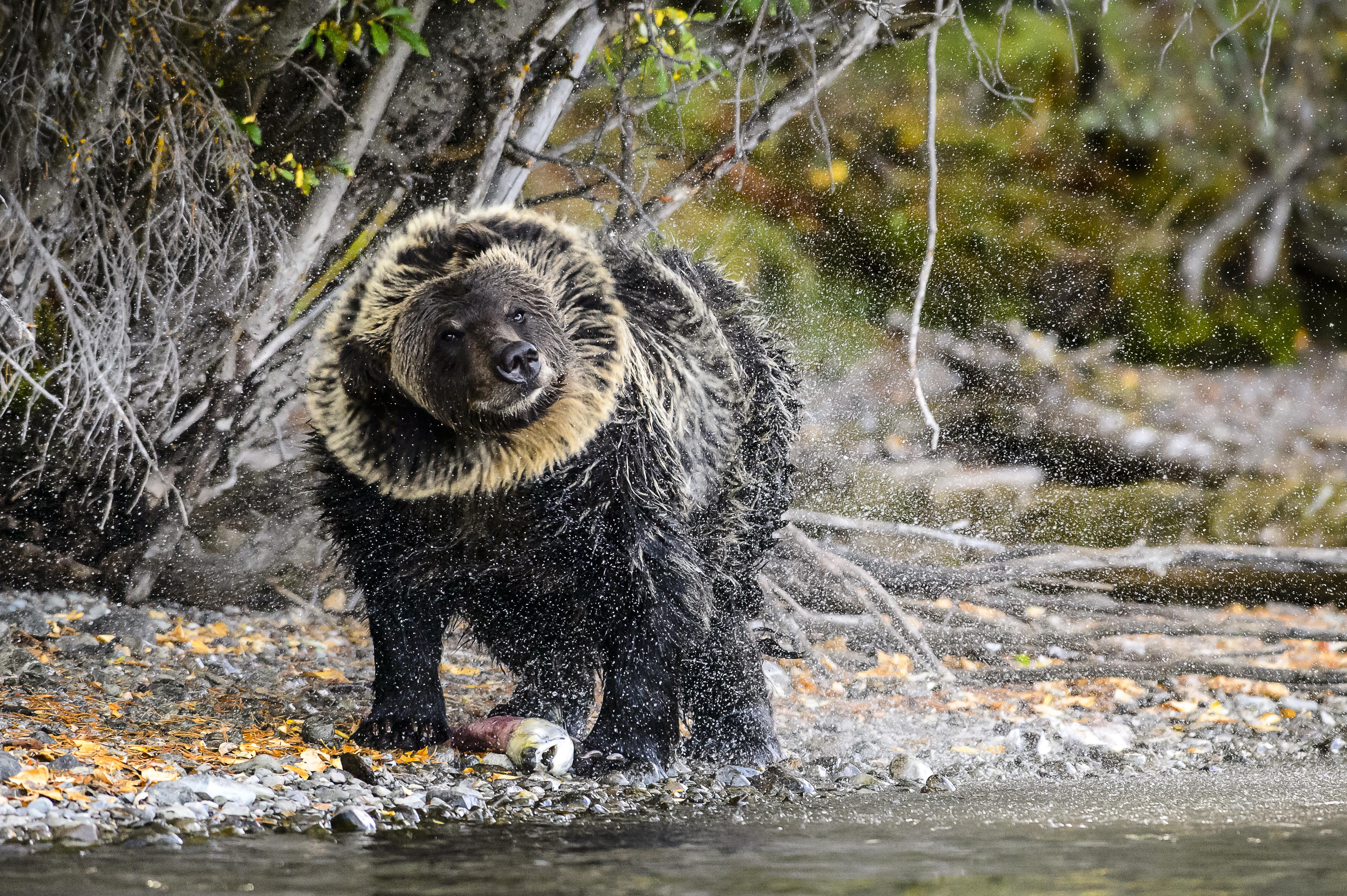 Ifj. Donald Trump engedélyt kapott medveölésre